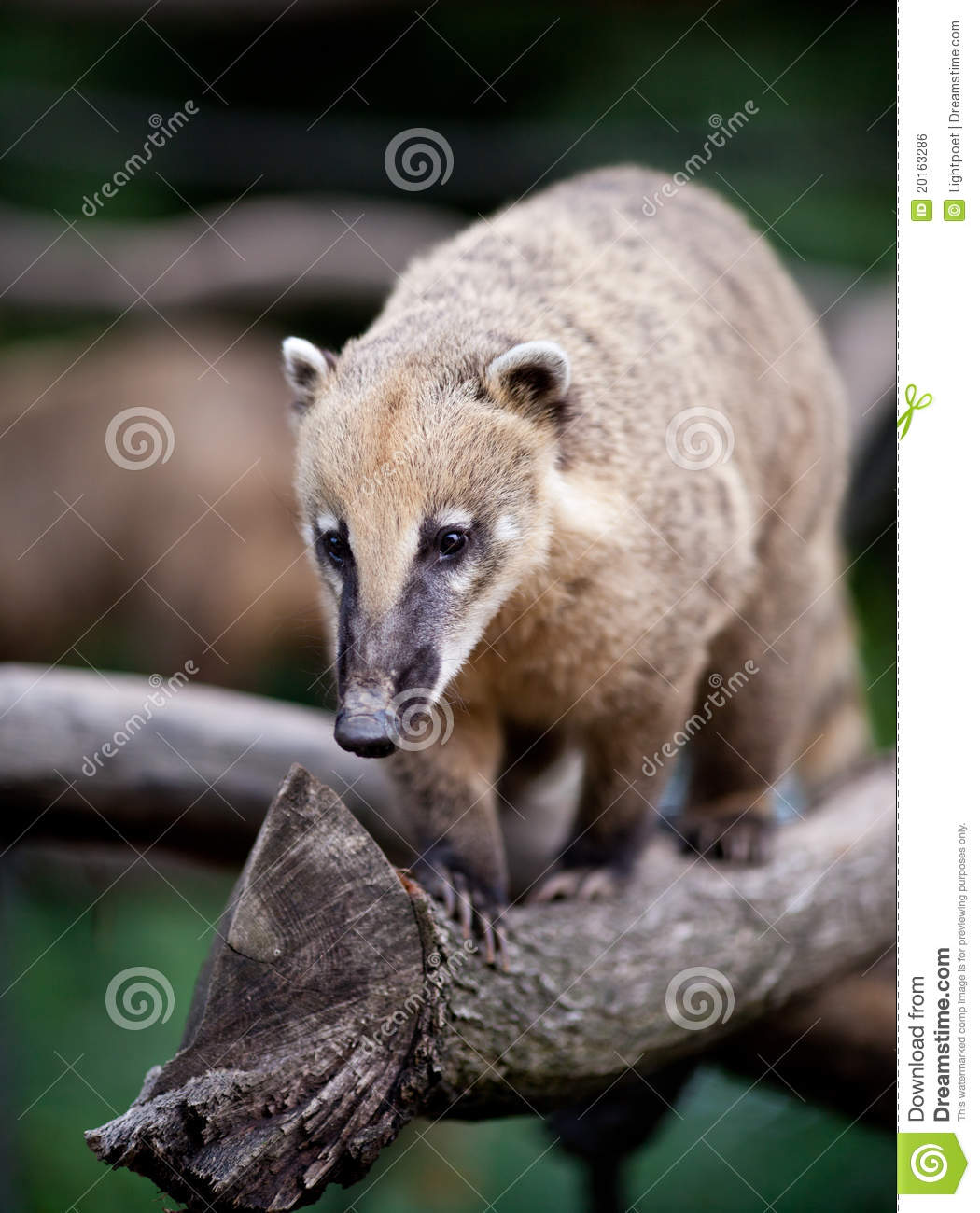 Portrait Of A Very Cute White Nosed Coati Royalty Free