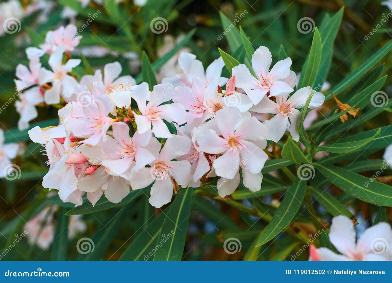 White oleander in bloom green leaves stock photo image of flower white oleander in bloom green leaves mightylinksfo