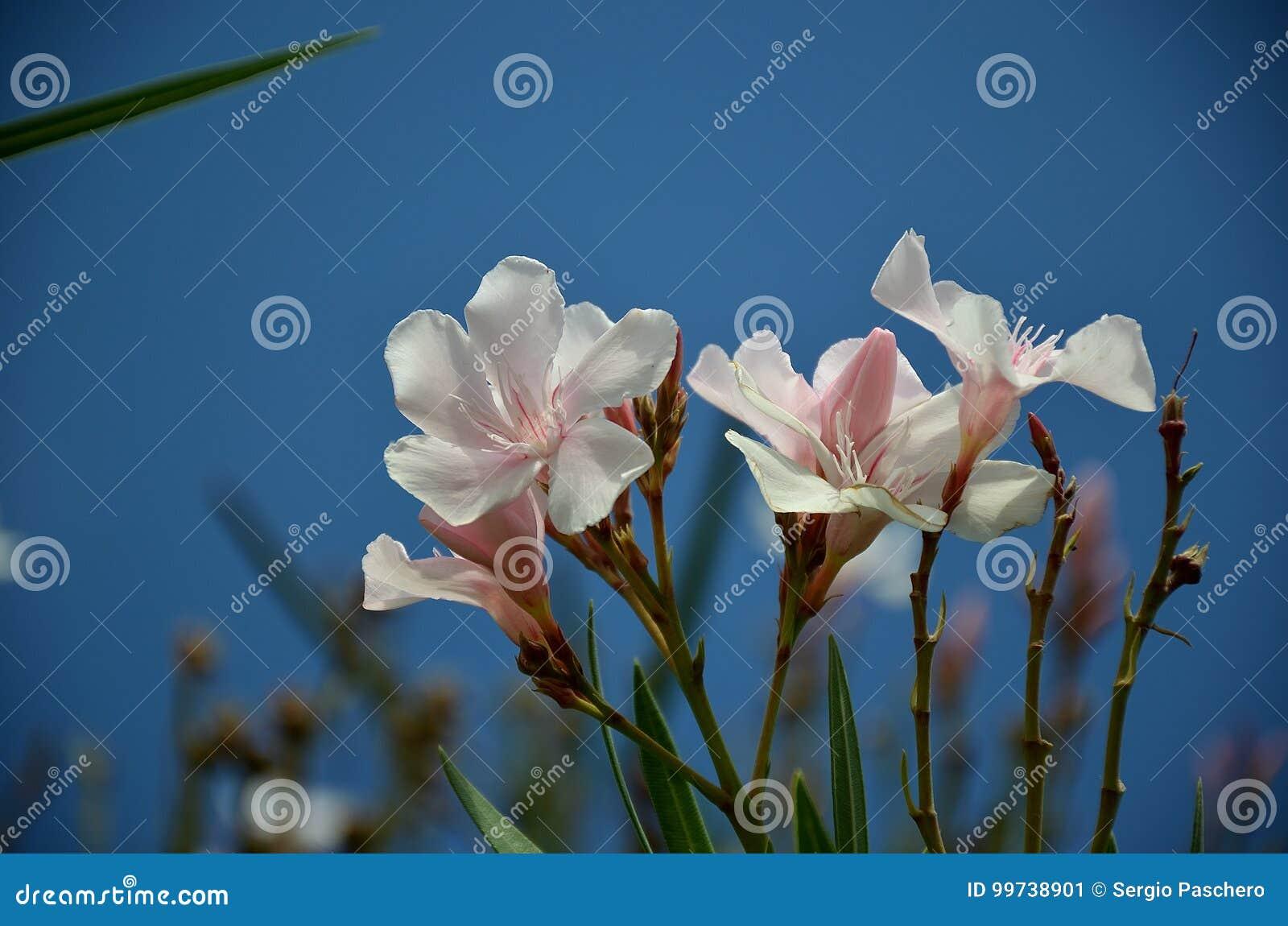White Oleander Flower In Summer Bloom Stock Image Image Of Leaves