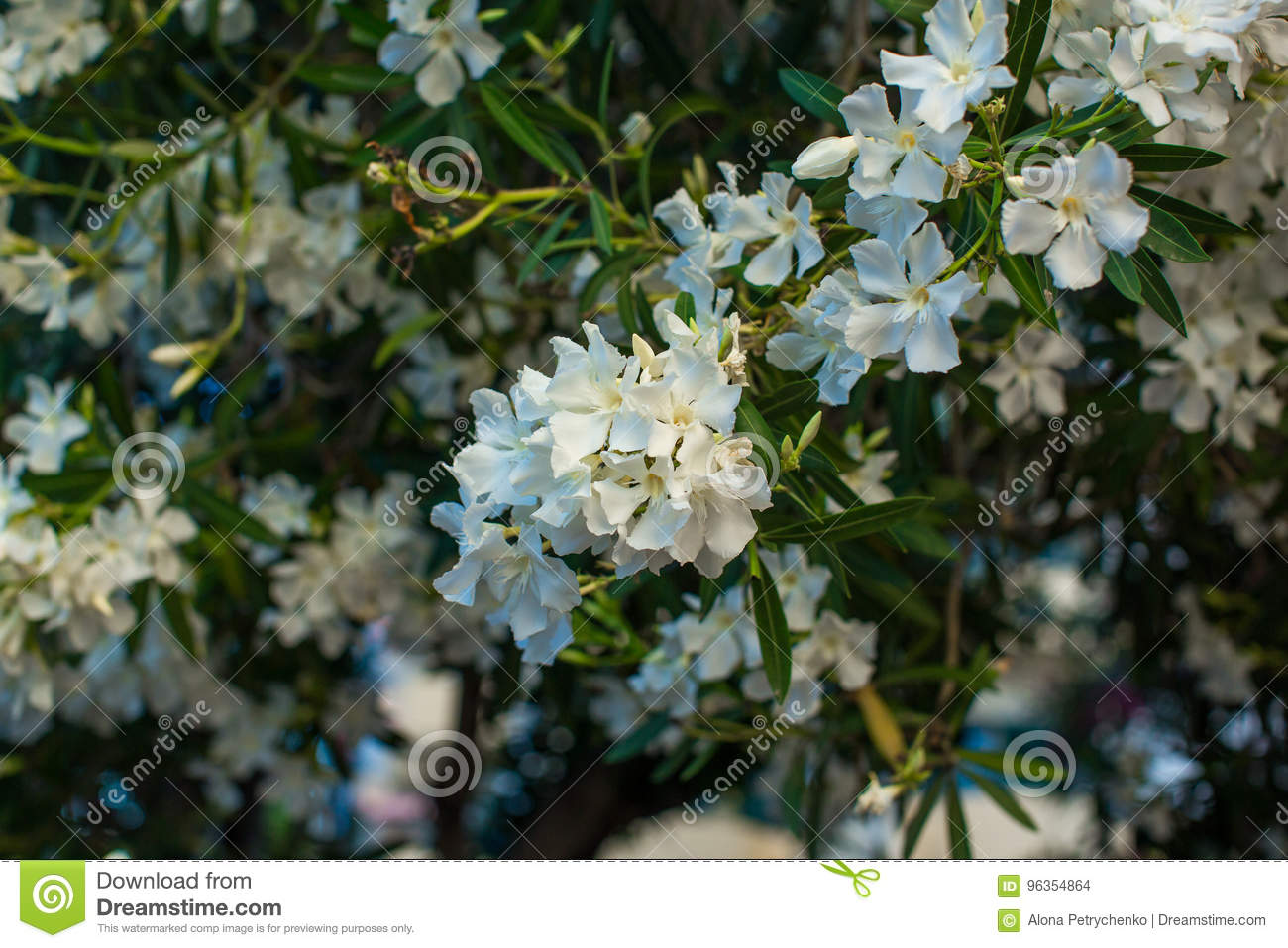White oleander flowers on a branch stock photo image of botanical white oleander flowers on a branch mightylinksfo