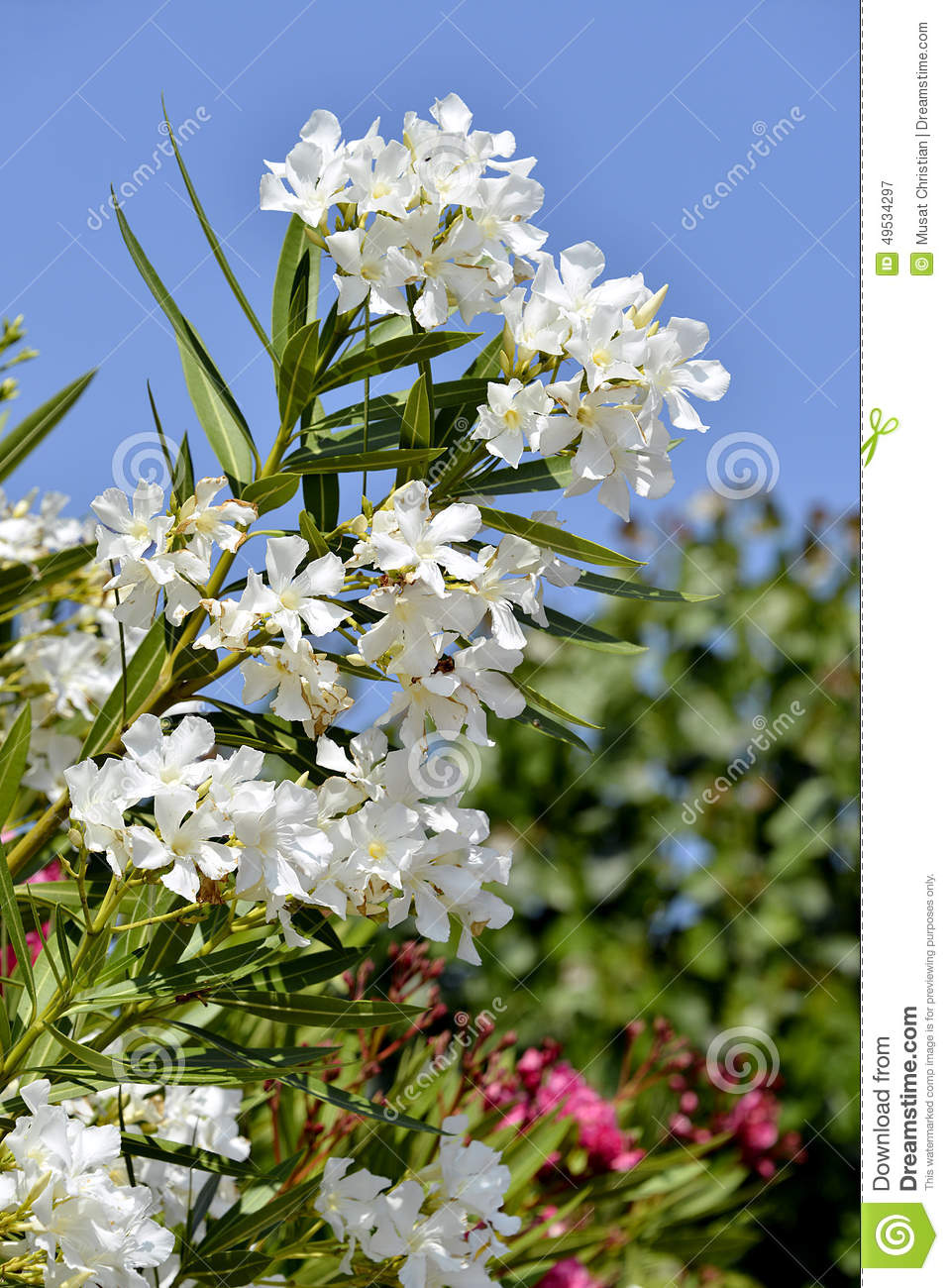 White oleander flowers stock image image of season petal 49534297 download white oleander flowers stock image image of season petal 49534297 mightylinksfo