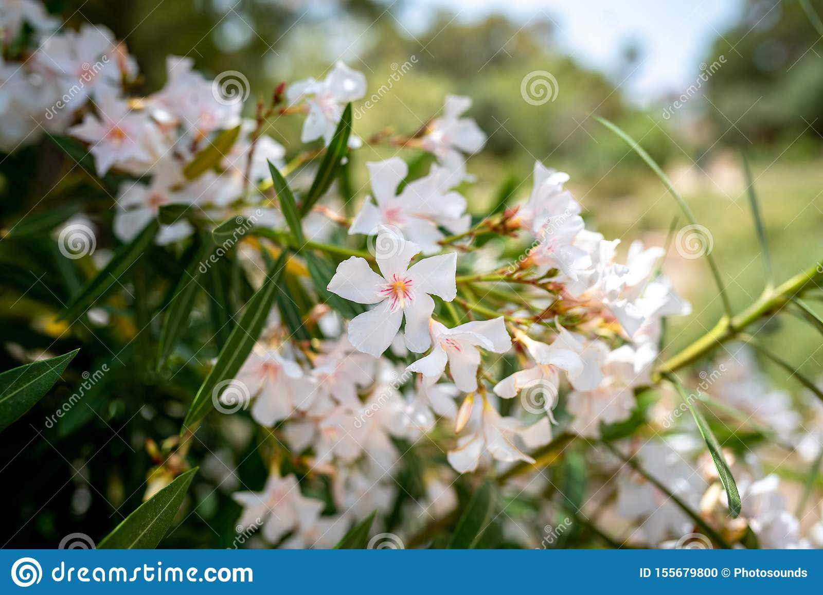 White Oleander Flowers Nerium Oleander. Colorful Bright Flower In Roman  Bath Garden In Carthage, Tunisia Stock Photo - Image of tunis, carthage:  155679800