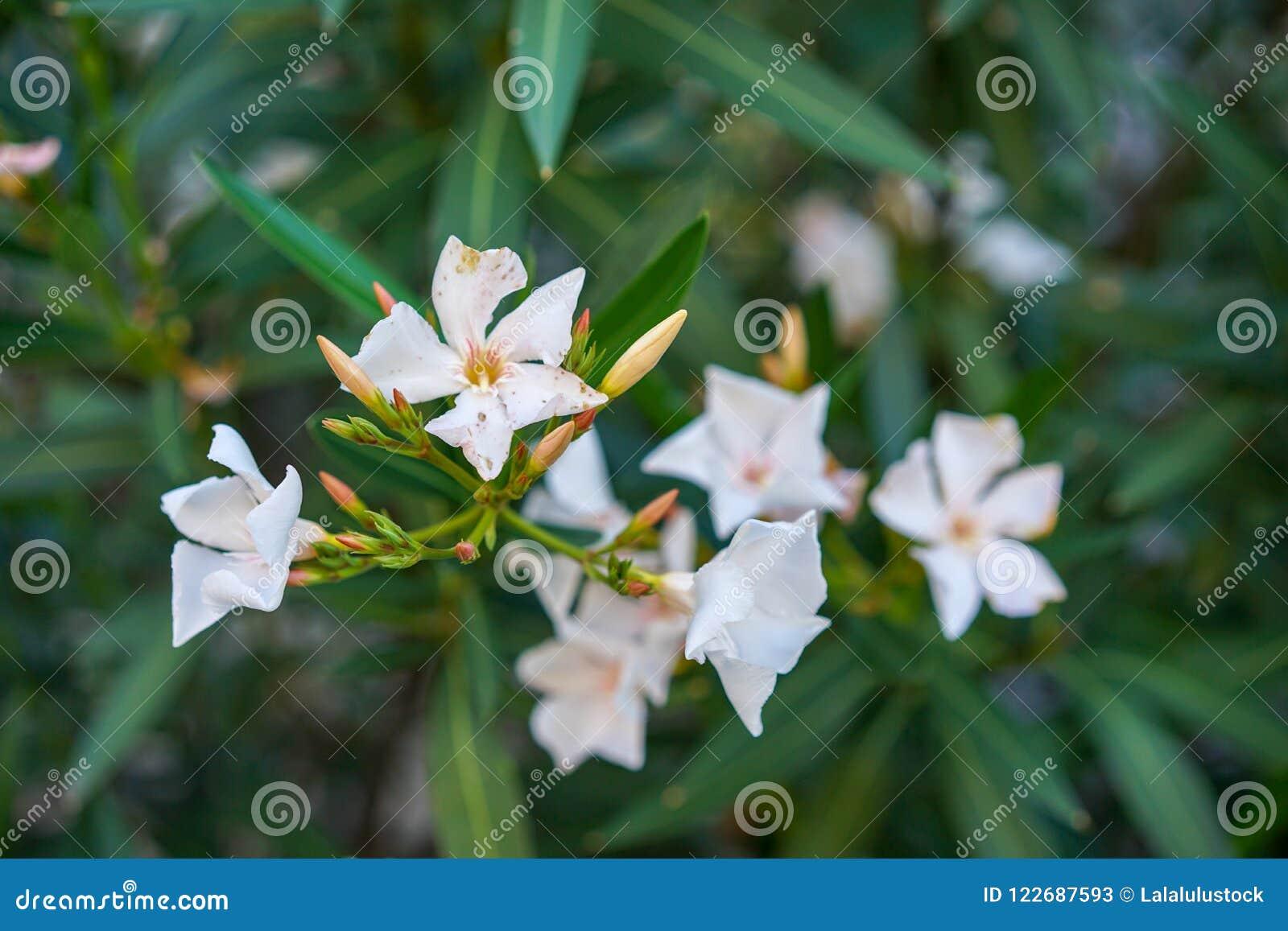 White Oleander Flowers Nerium Oleander From The Mediterranean Sea