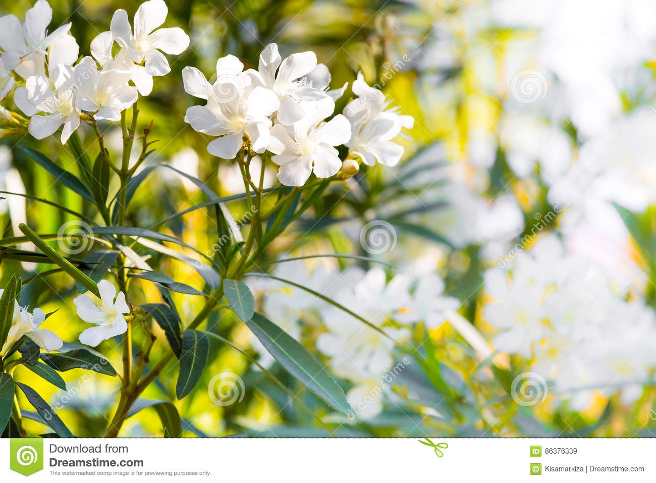 White Oleander Flowers Spring Or Summer Background Stock Image