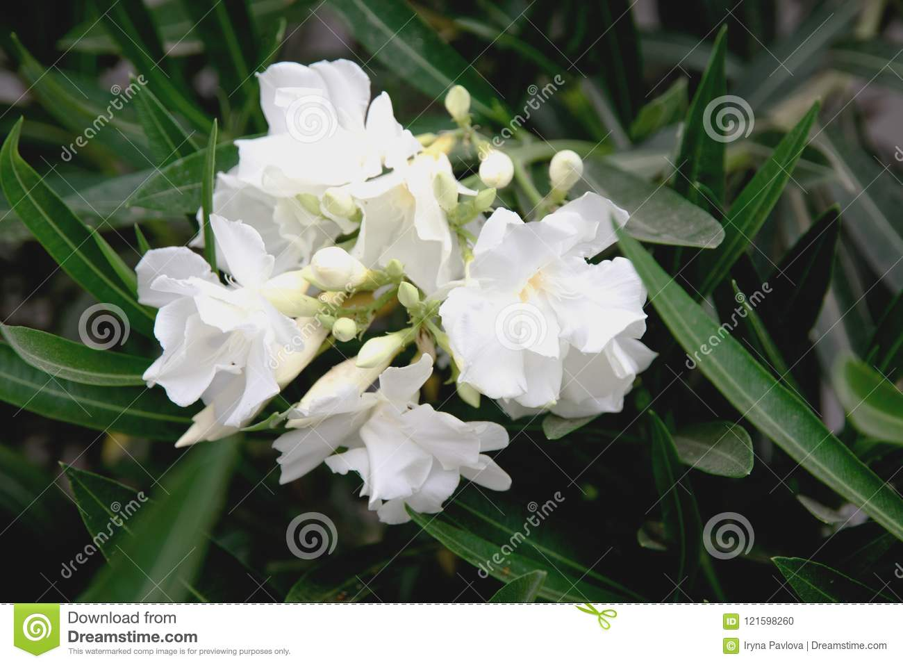 White oleander flowers stock photo image of macro close 121598260 white oleander flowers mightylinksfo