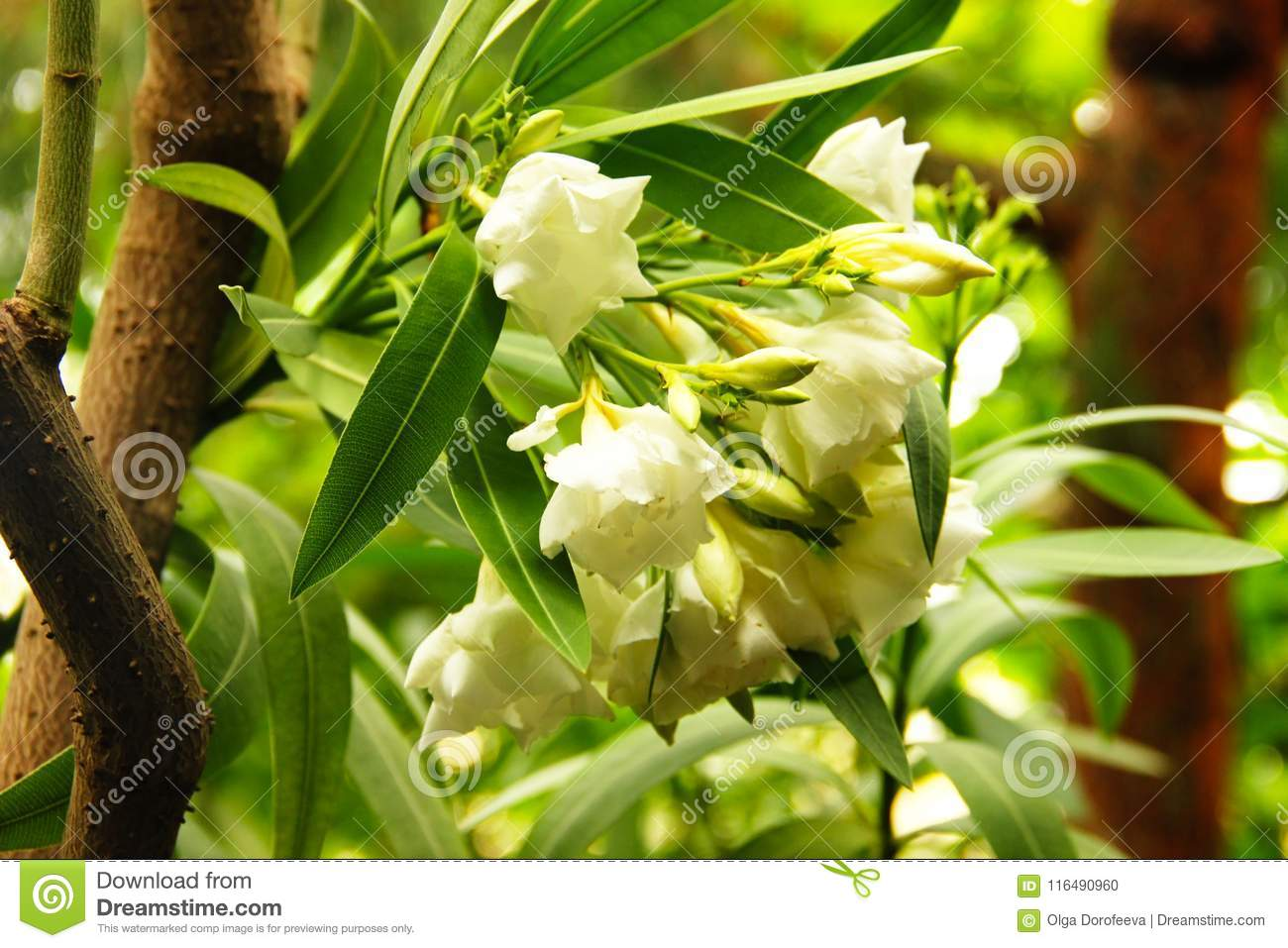 White oleander flowers on the tree stock photo image of bloom white oleander flowers on the tree mightylinksfo