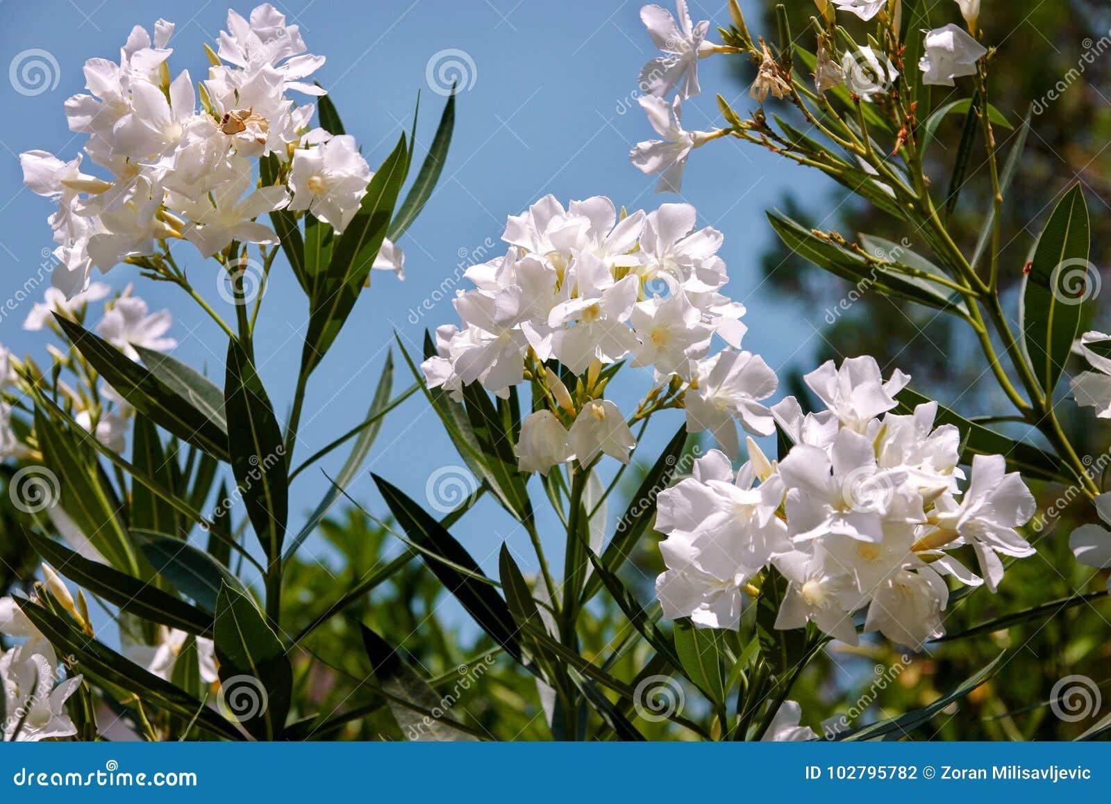 White Oleander Flowers Stock Photo Image Of Plant Paradise 102795782