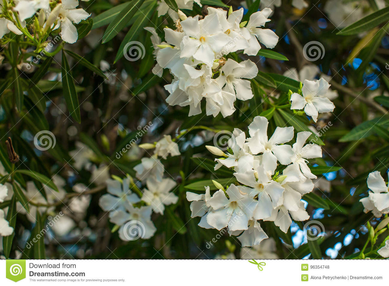 White Oleander Tree Stock Photo Image Of Portugal Spring 96354748