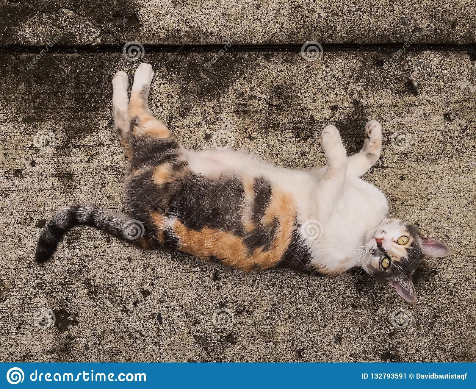 White, orange and gray cat pet over concrete floor