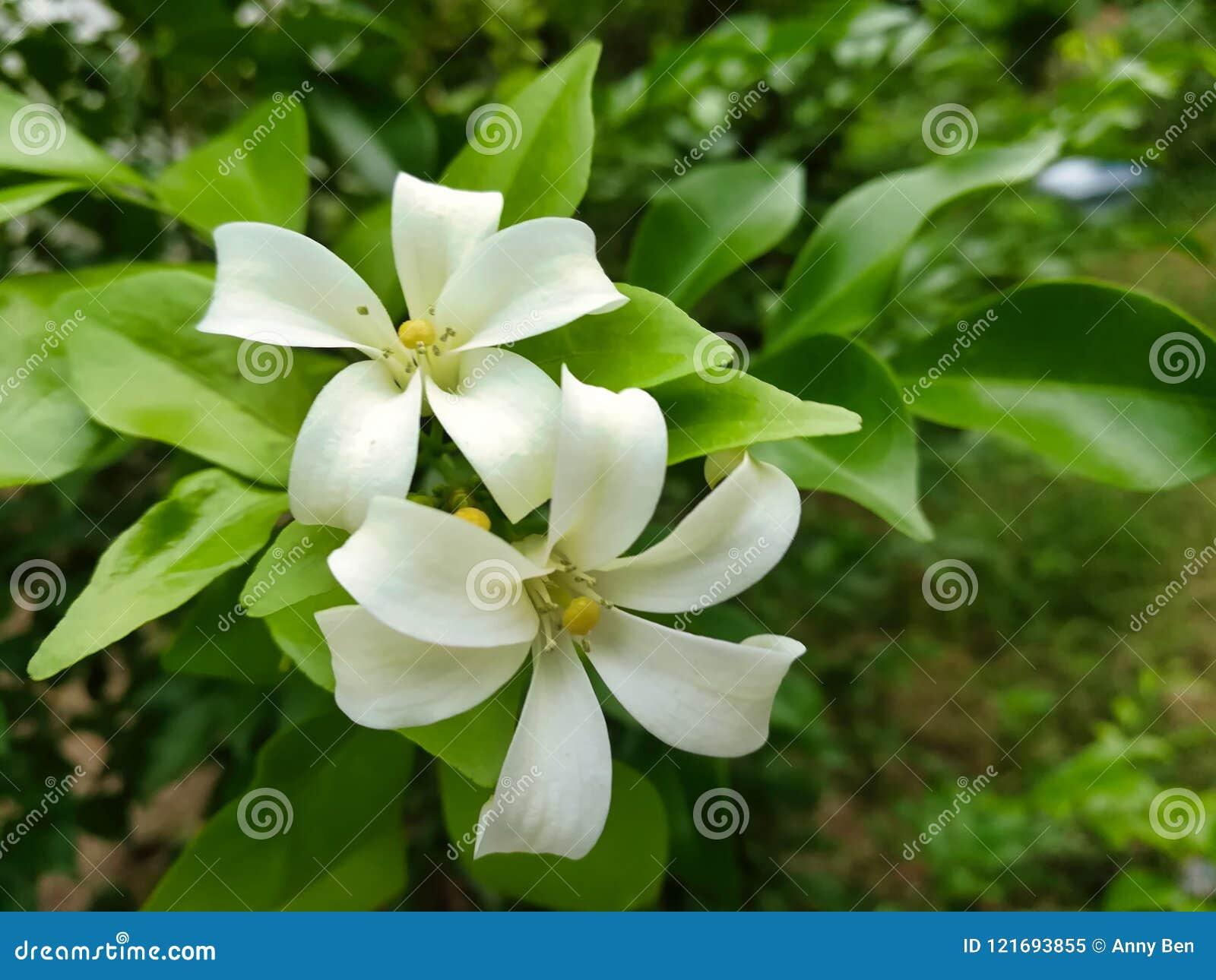 White Orange Jasmine Flower Stock Image Image Of Closeup Macro