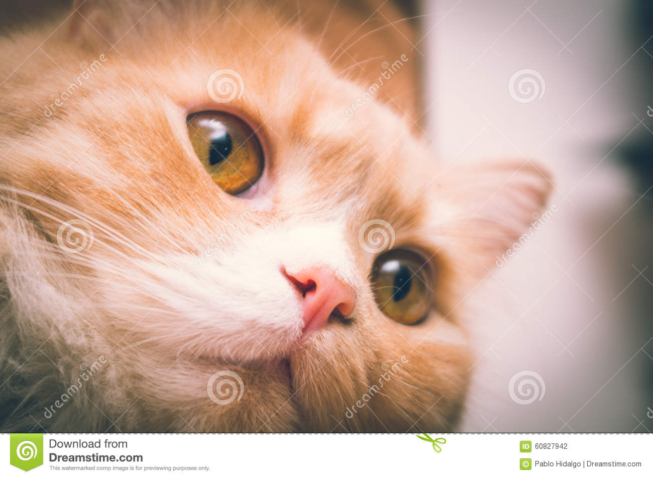 White orange pussycat head closeup with open eyes
