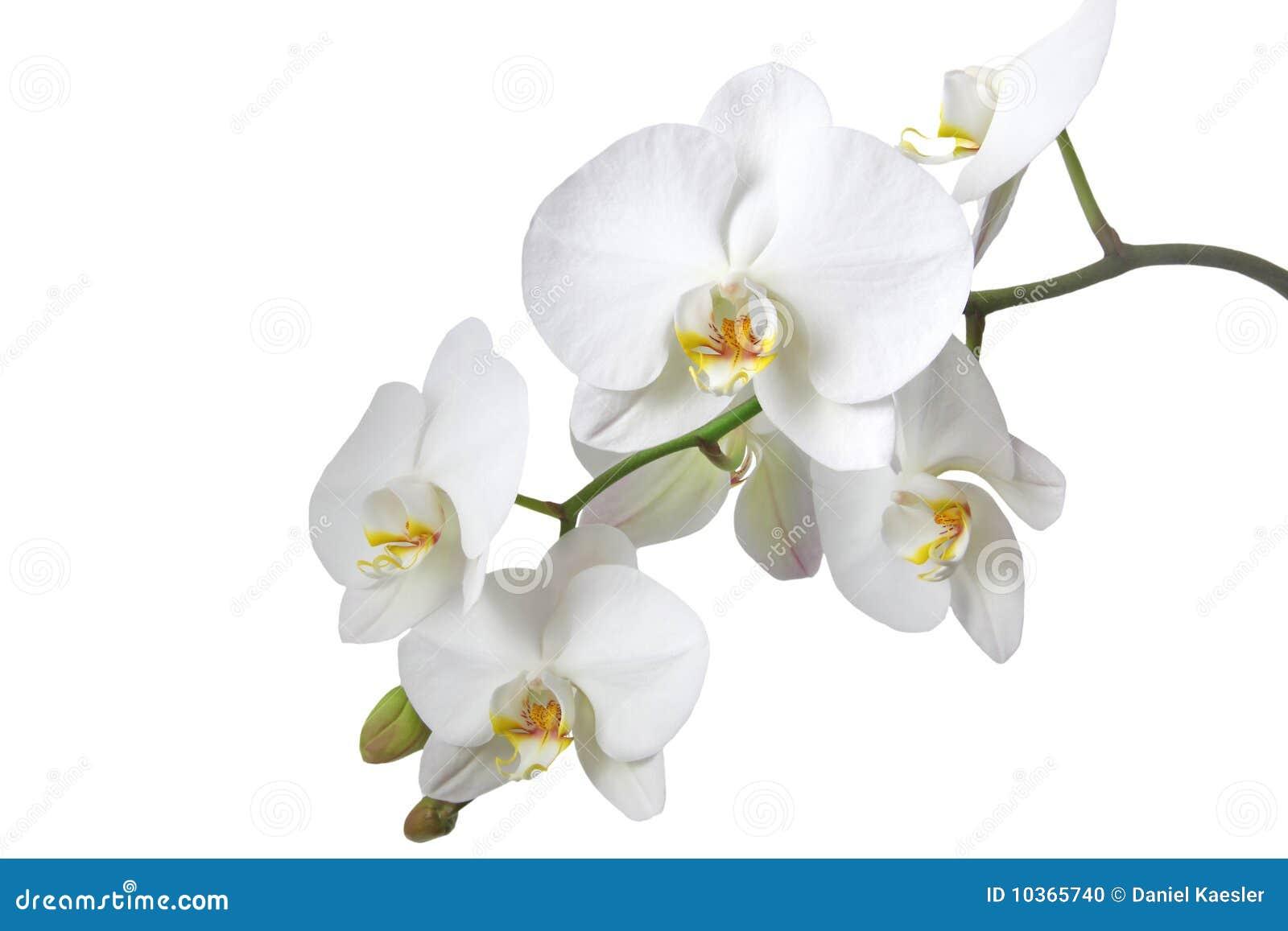 Frangipani spa flowers stock photo image 14654190 - Background