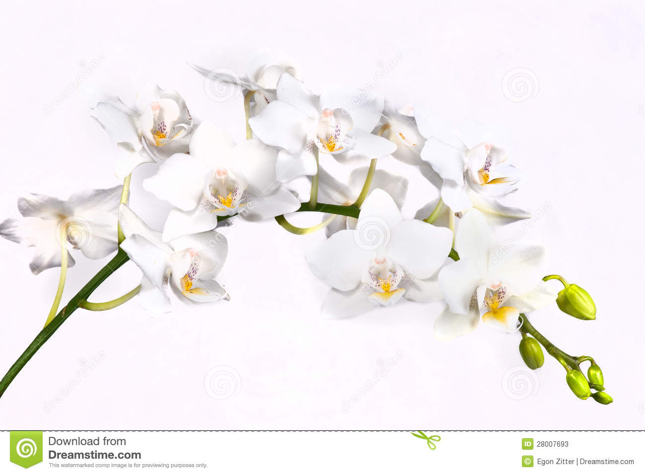 White Orchid Flower Stock Image Image Of Plant Gently 28007693