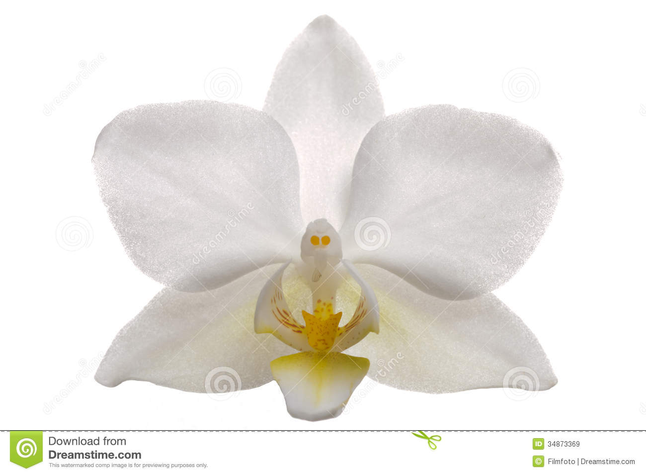 White Orchid Flower Stock Image Image Of Flower Flora 34873369