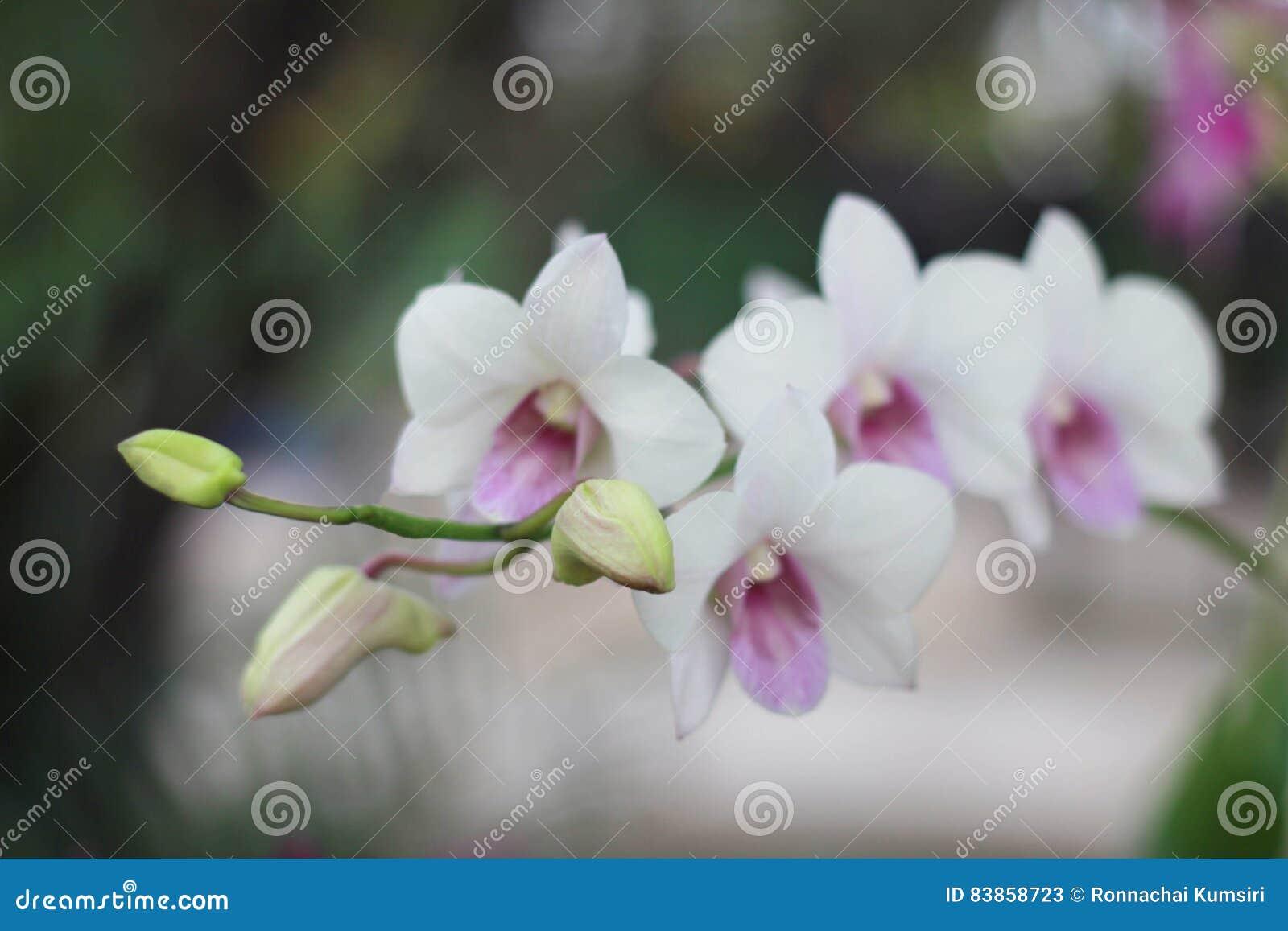 White Orchid Flower In Garden Blur Backgroundwhite Flower Blur