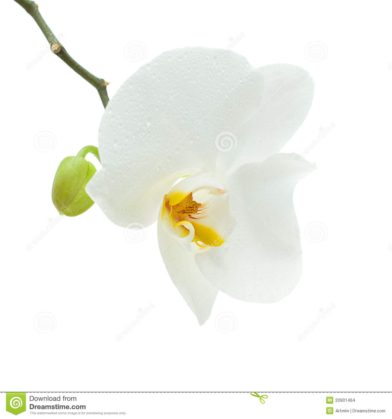 White Orchid Flower Isolated Stock Photo Image Of Flower Nobody