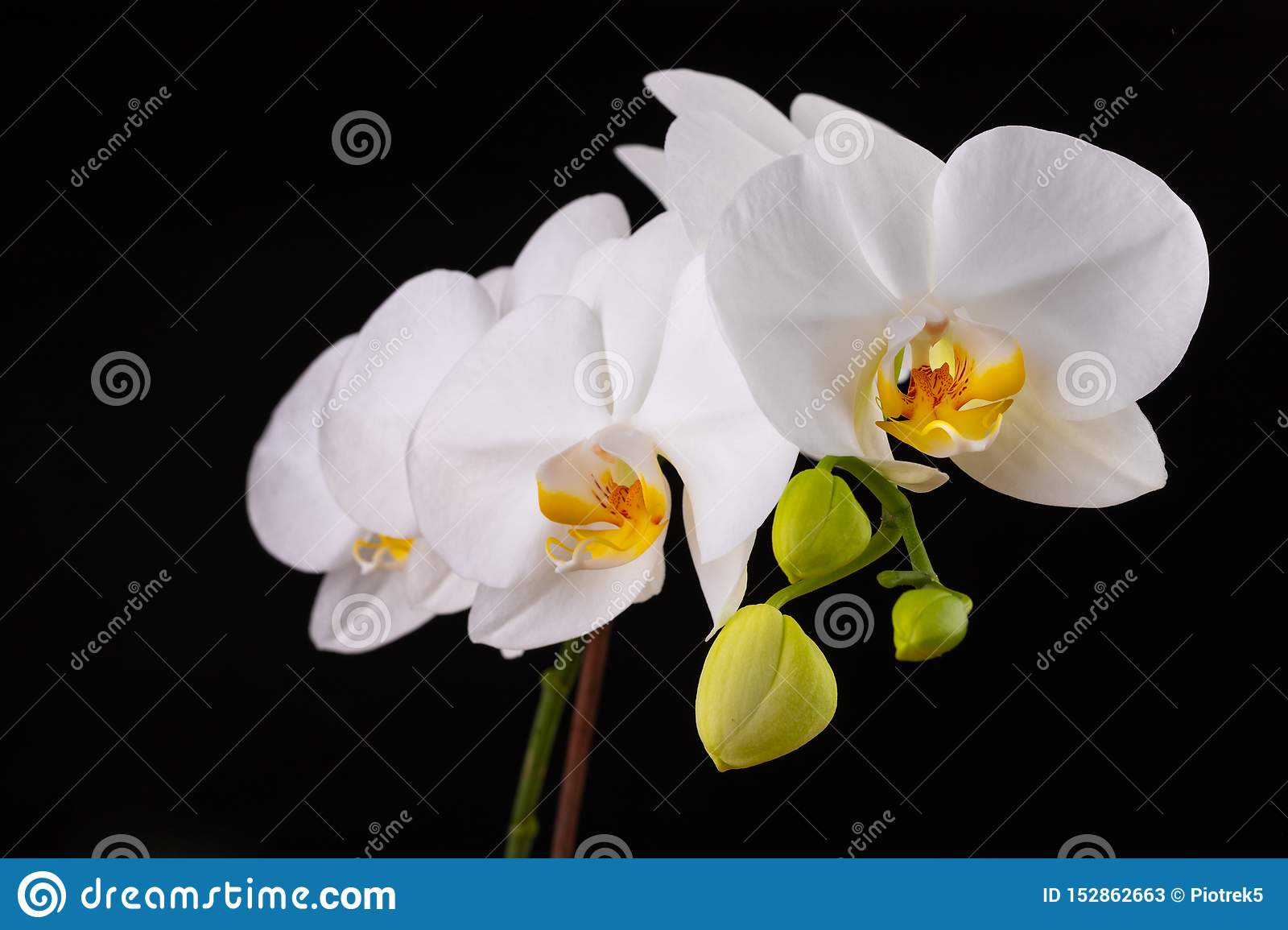 White orchid flowers. A beautifully blossomed flower bred in home conditions