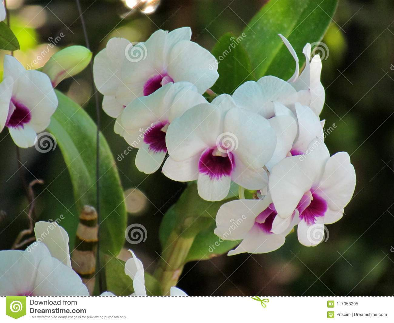 White Orchid Flowers On Nature Background Phalaenopsis Orchid