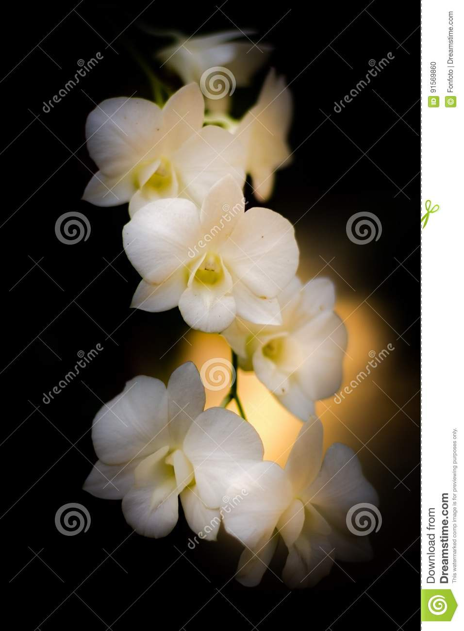 White orchid stock photo image of elegance associate 91569860 download comp mightylinksfo