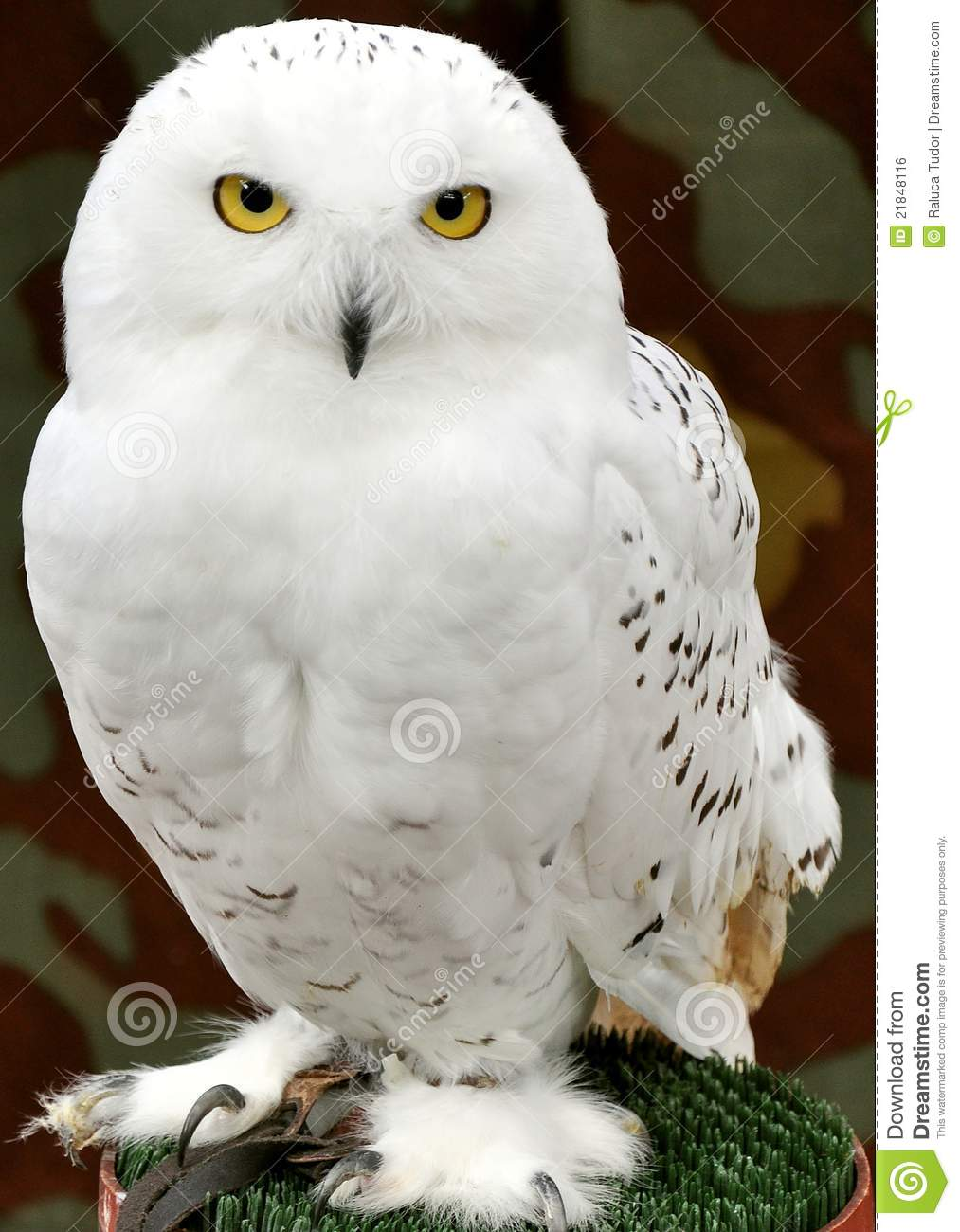 White owl with yellow eyes on a bird exhibition in Italy.