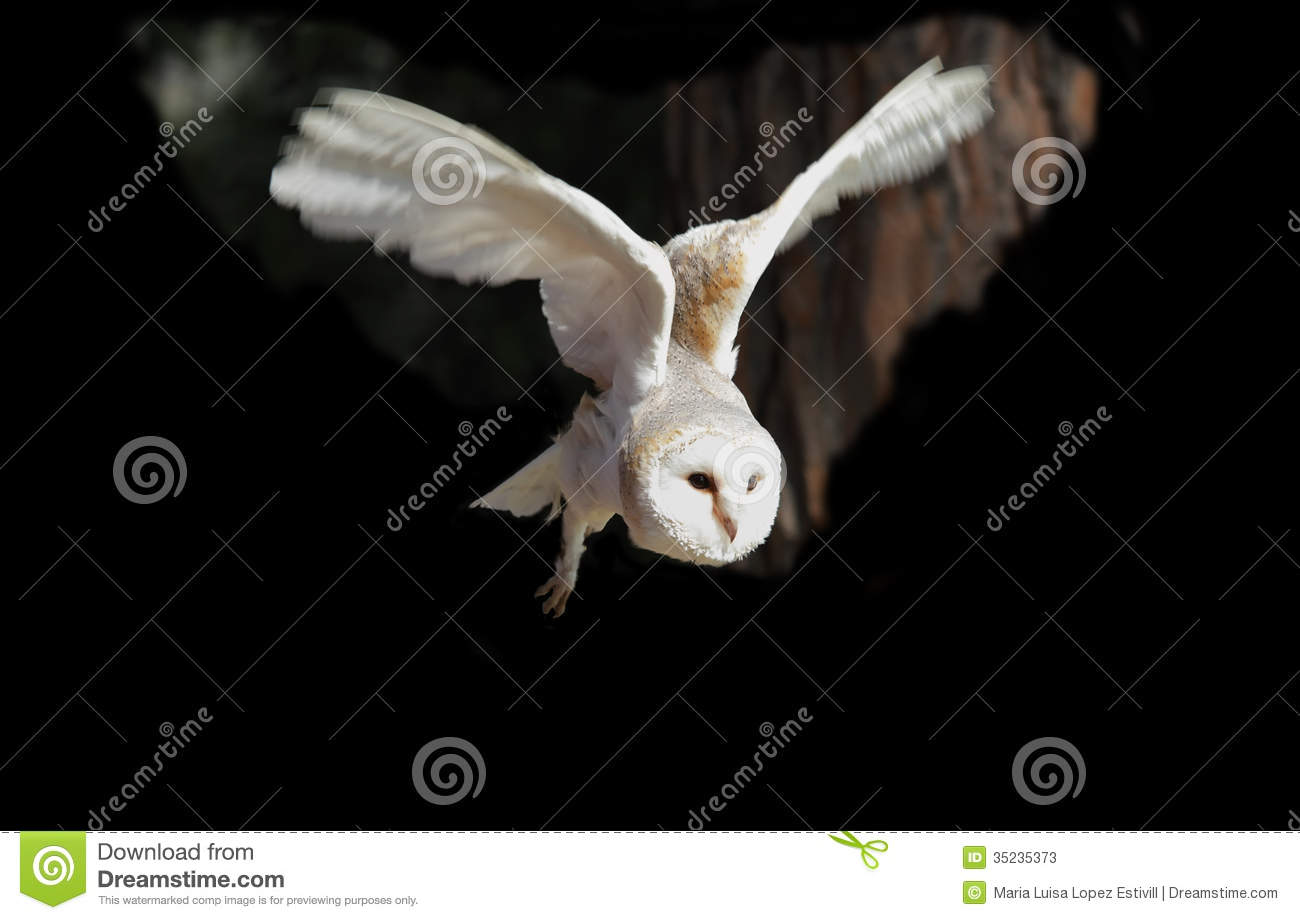 White Owl Flying Stock Photos - Image: 35235373