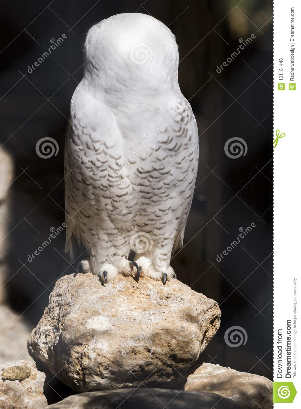 White owl with head turned completely to back perched on a rock, highlighted by sun