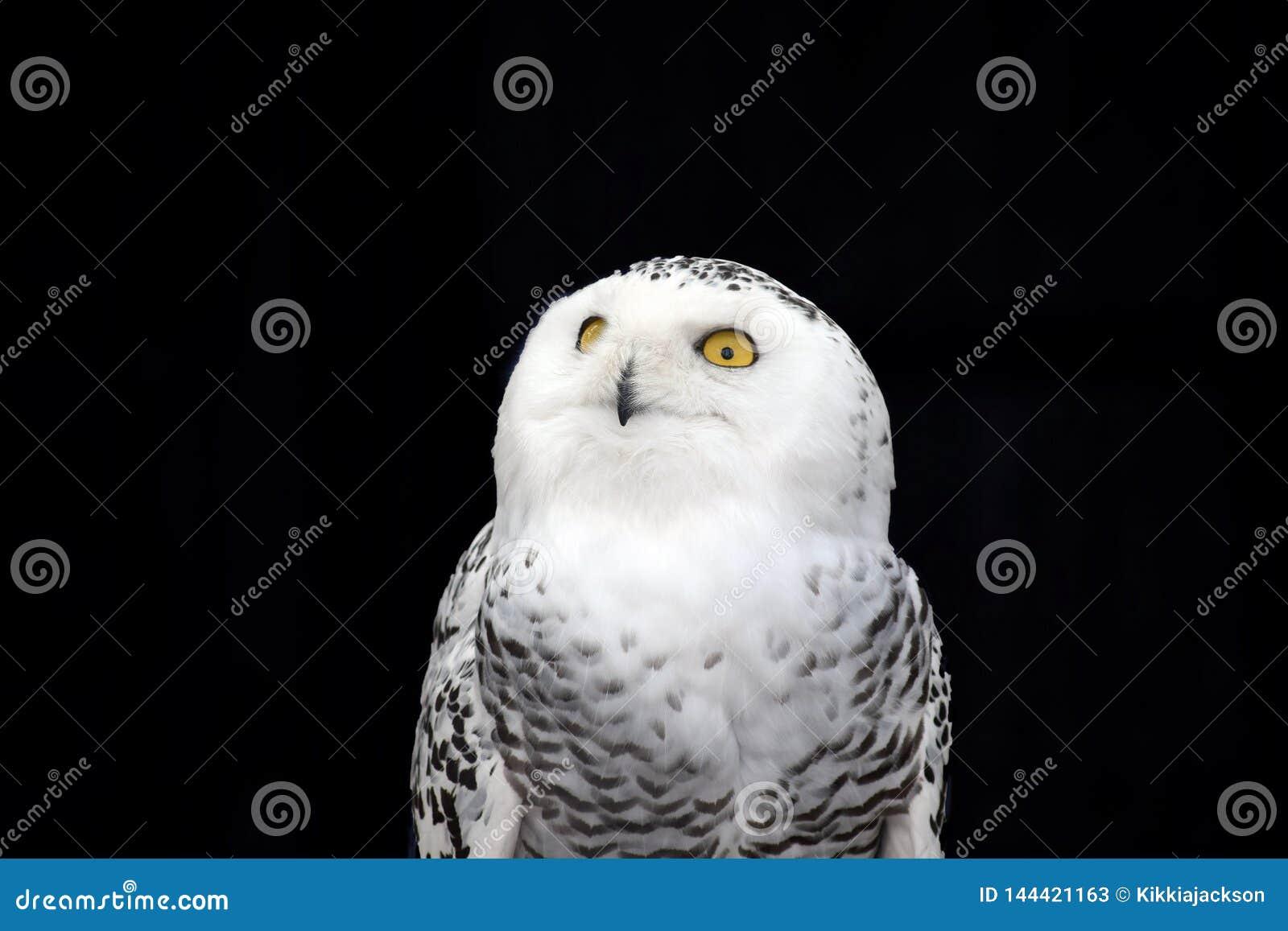 White Owl Nyctea Scandiaca