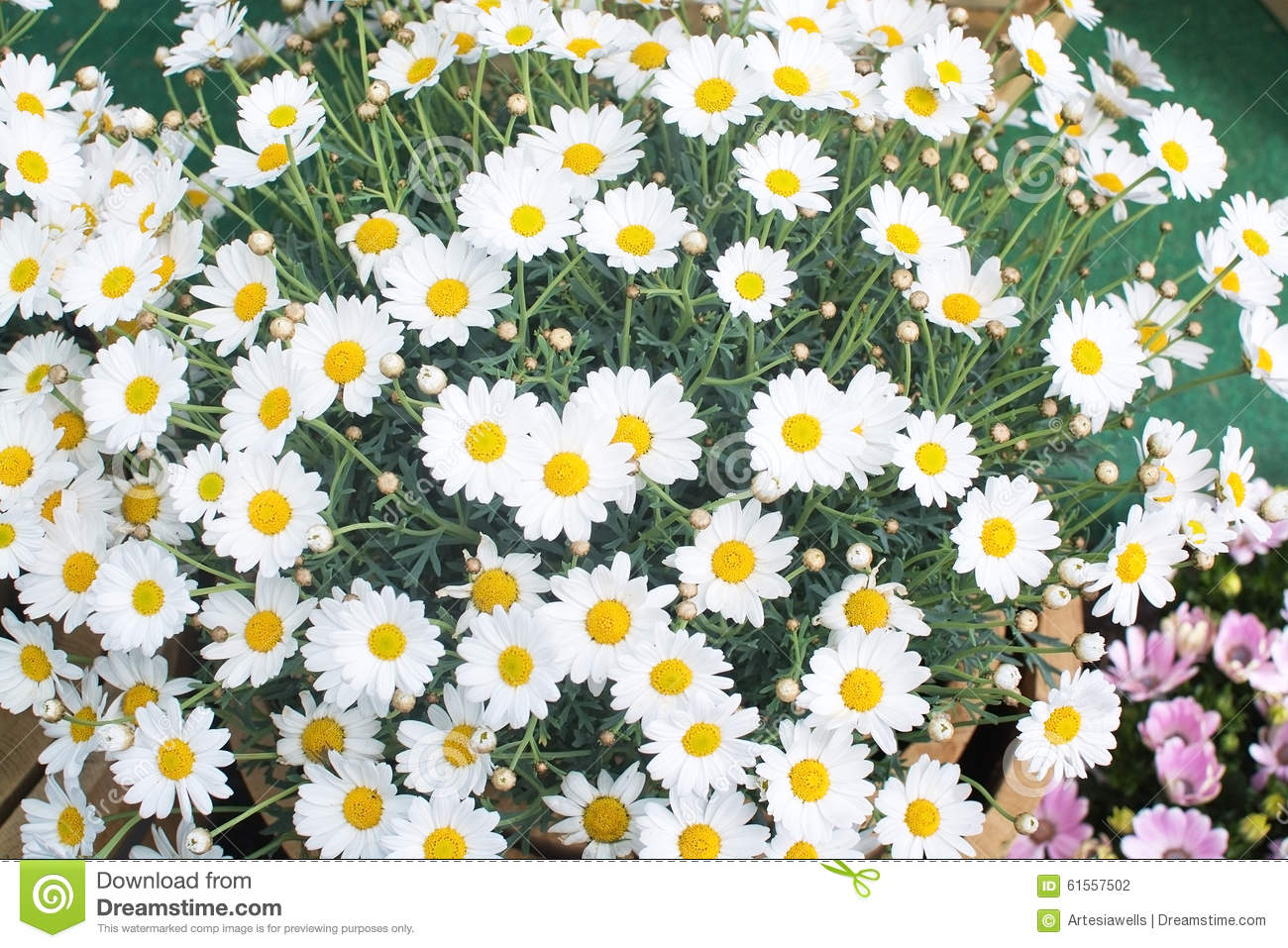 May flowers stock photos royalty free pictures white oxe eye daisy may flowers white oxe eye daisy or moon daisy mightylinksfo Choice Image