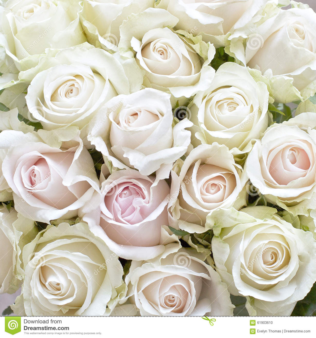 white and pale pink roses stock photo image of gift