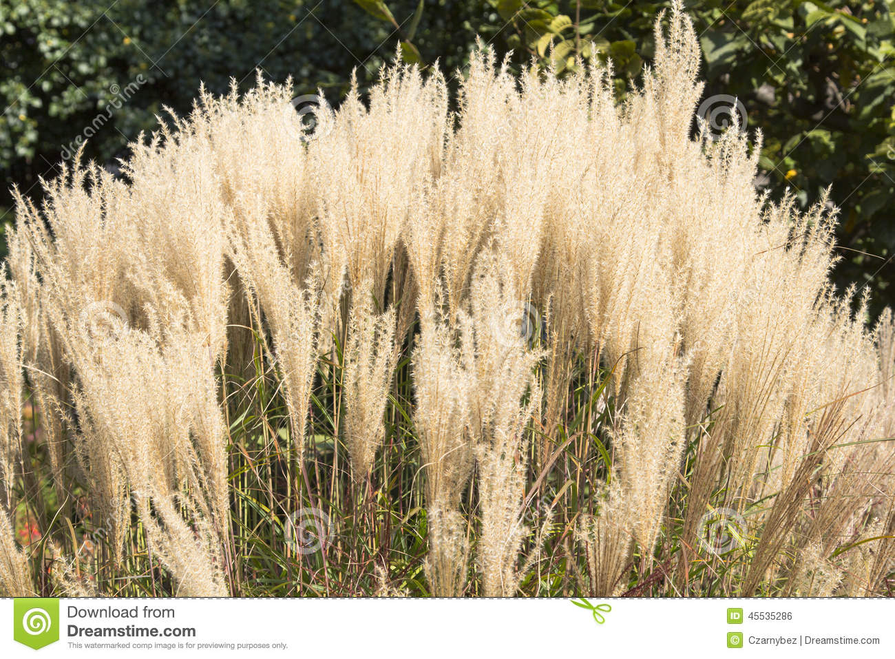 White pampas grass stock photo image 45535286 for White ornamental grass