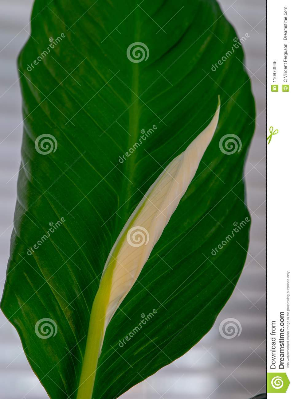 White peace lily bud with green leaf stock image image of liquid white peace lily bud with green leaf izmirmasajfo
