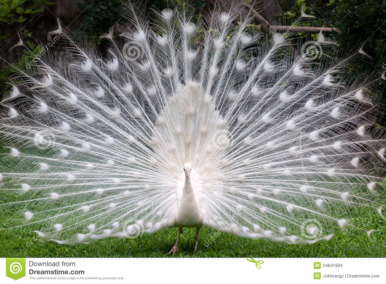White Peacock Stock Images - Image: 24641994