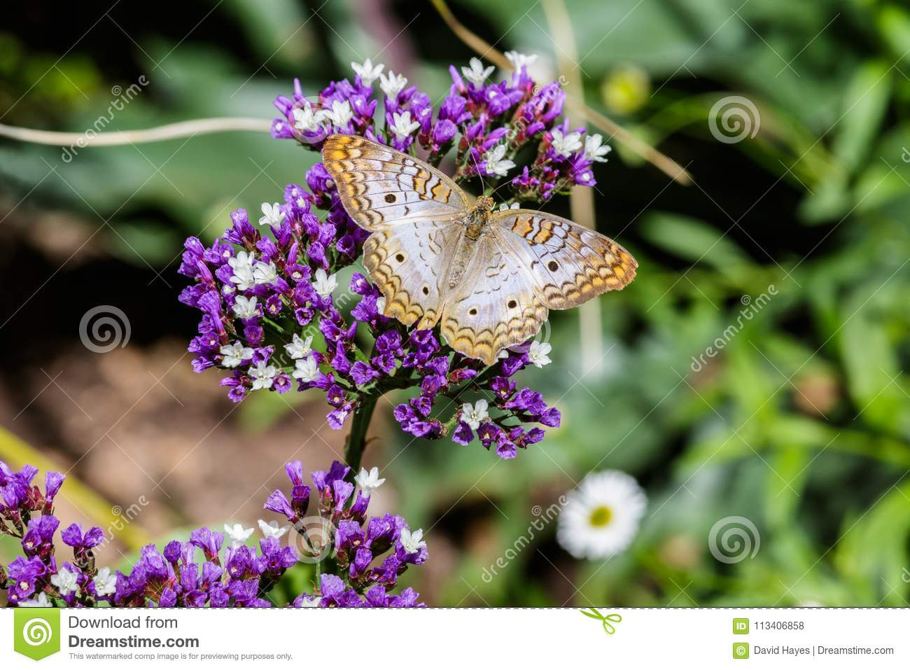 White Peacock Butterfly On Purple Flowers Green Background Stock