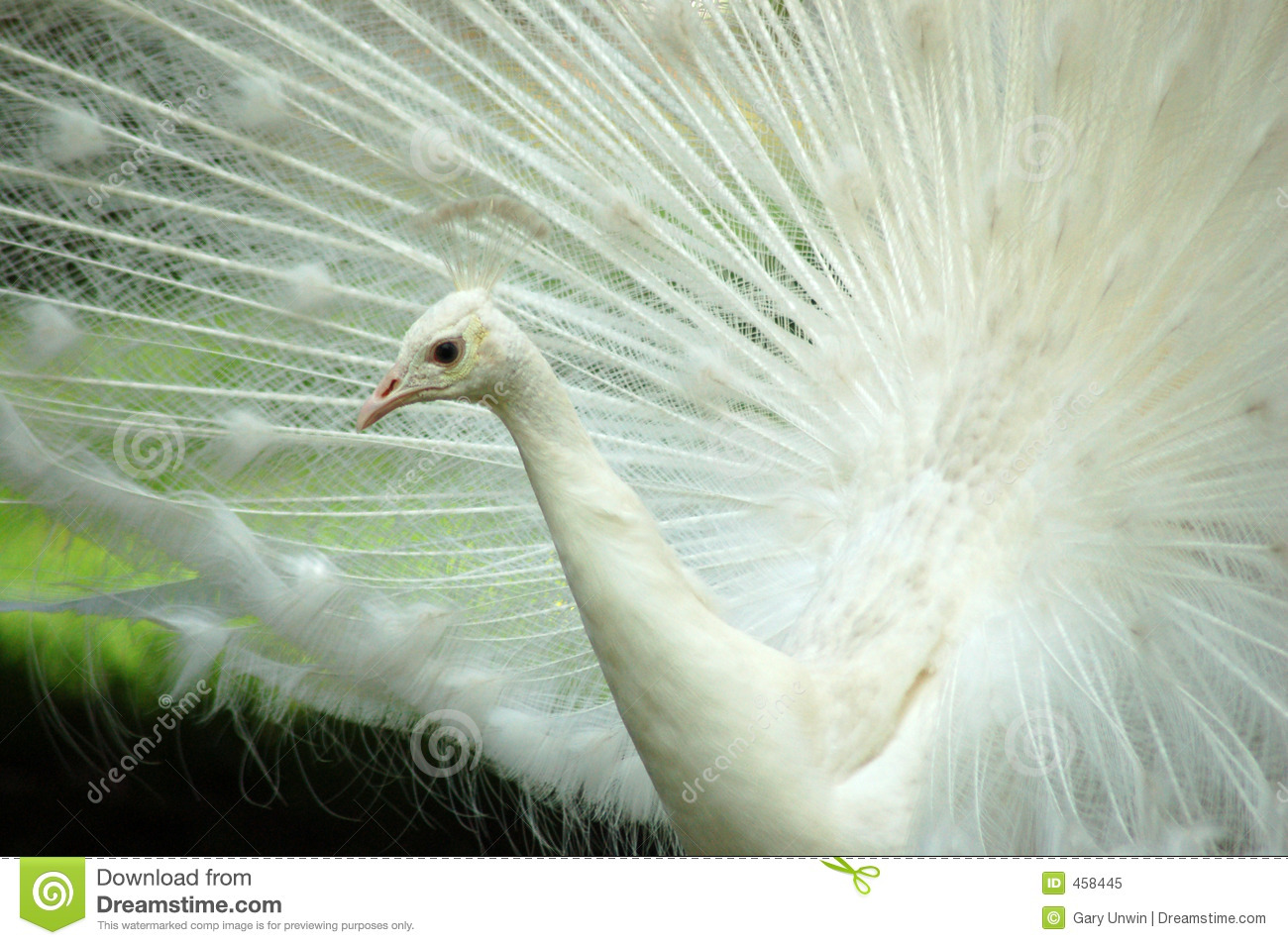 Download White Peacock Closeup stock image. Image of display, feather - 458445