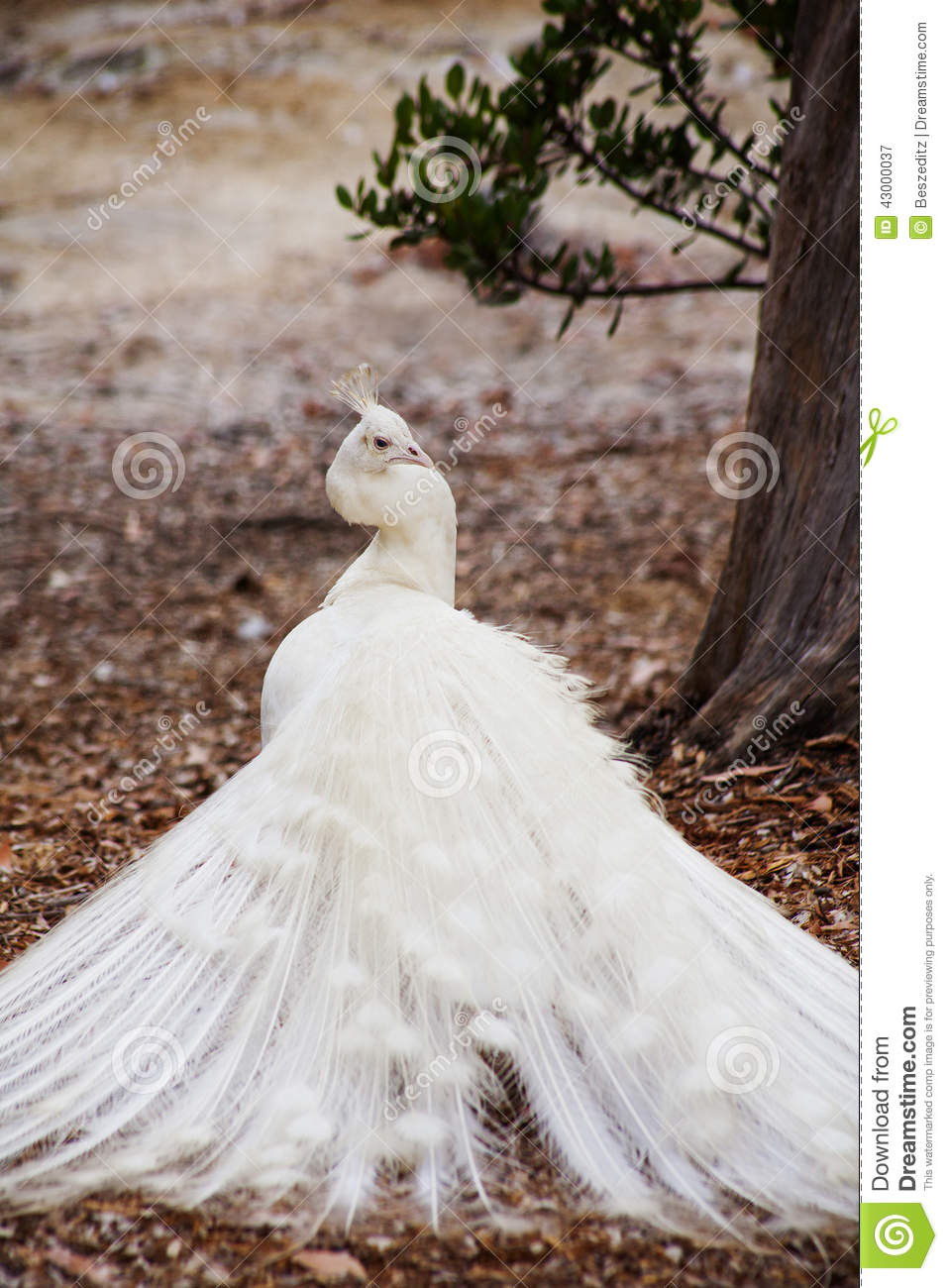 White Male Peacock