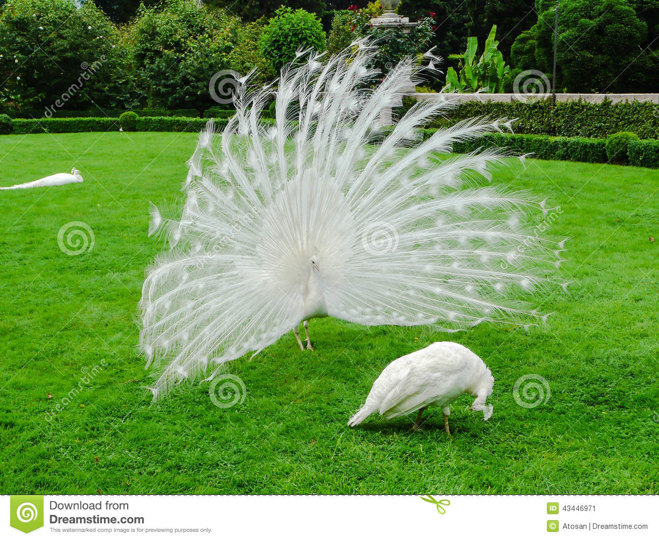 rare example of pear peacocks with white plumage instead of the more ...