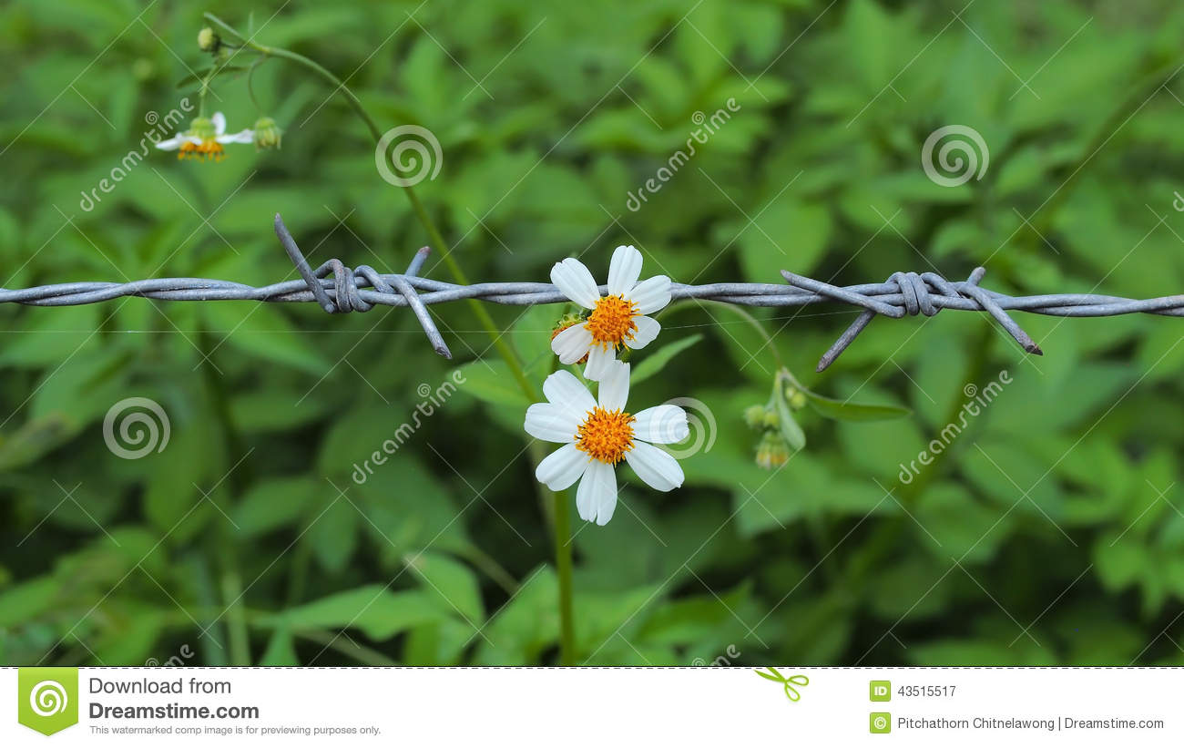 White pedal flowers contrast with barbed wire stock image