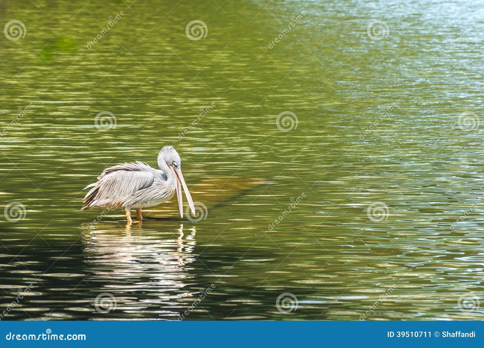 The White Pelican