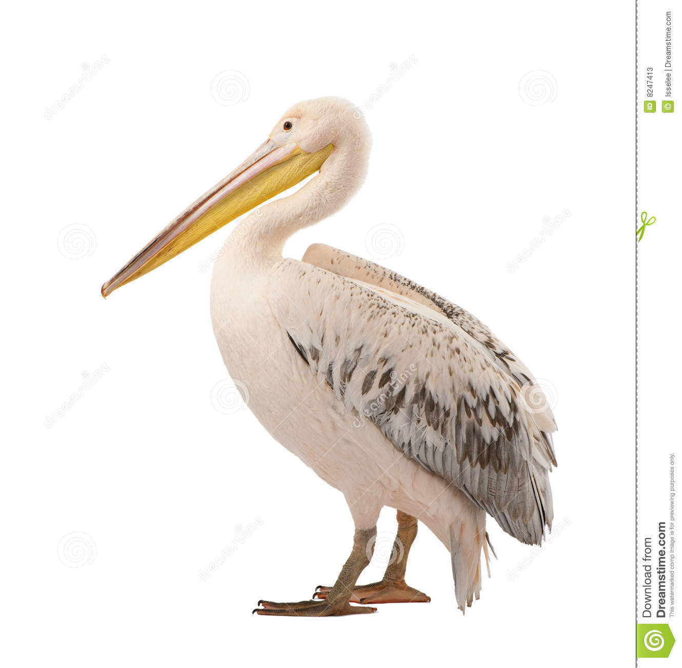 white pelican pelecanus onocrotalus  18 months  stock free wildlife clipart images Clip Art Animals Wildlife