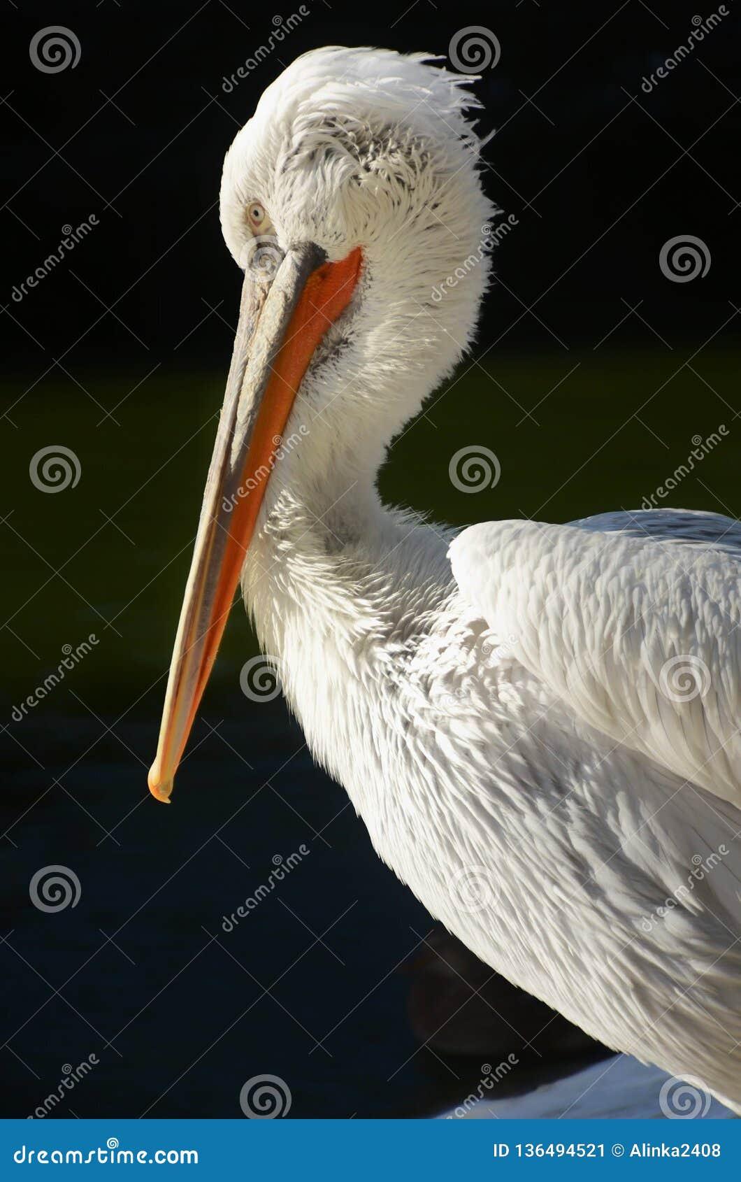 White pelican in profile