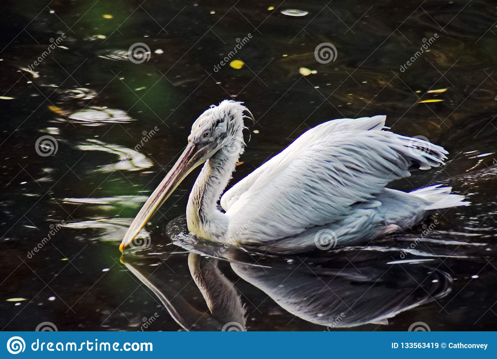 White pelican on water and its reflection