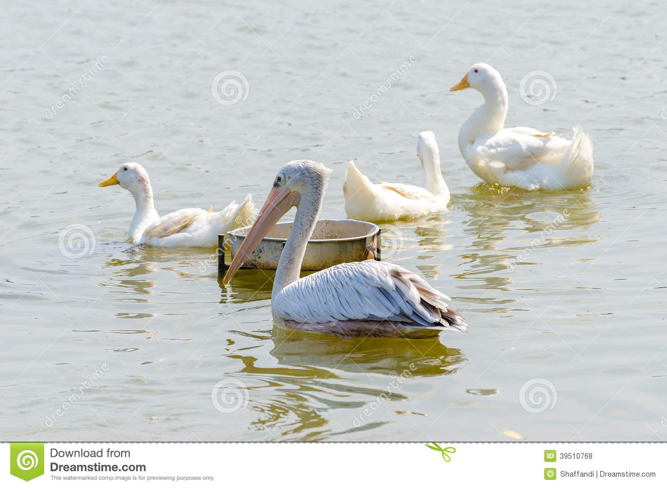 White Pelican and White Duck