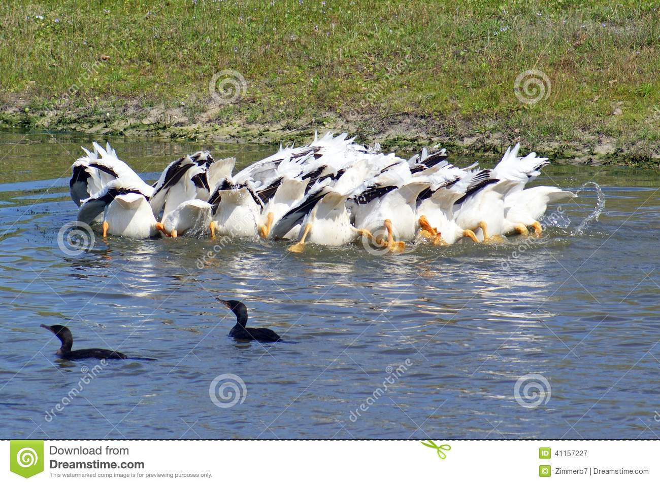 White pelicans stock photo image 41157227 for Whiting fish florida