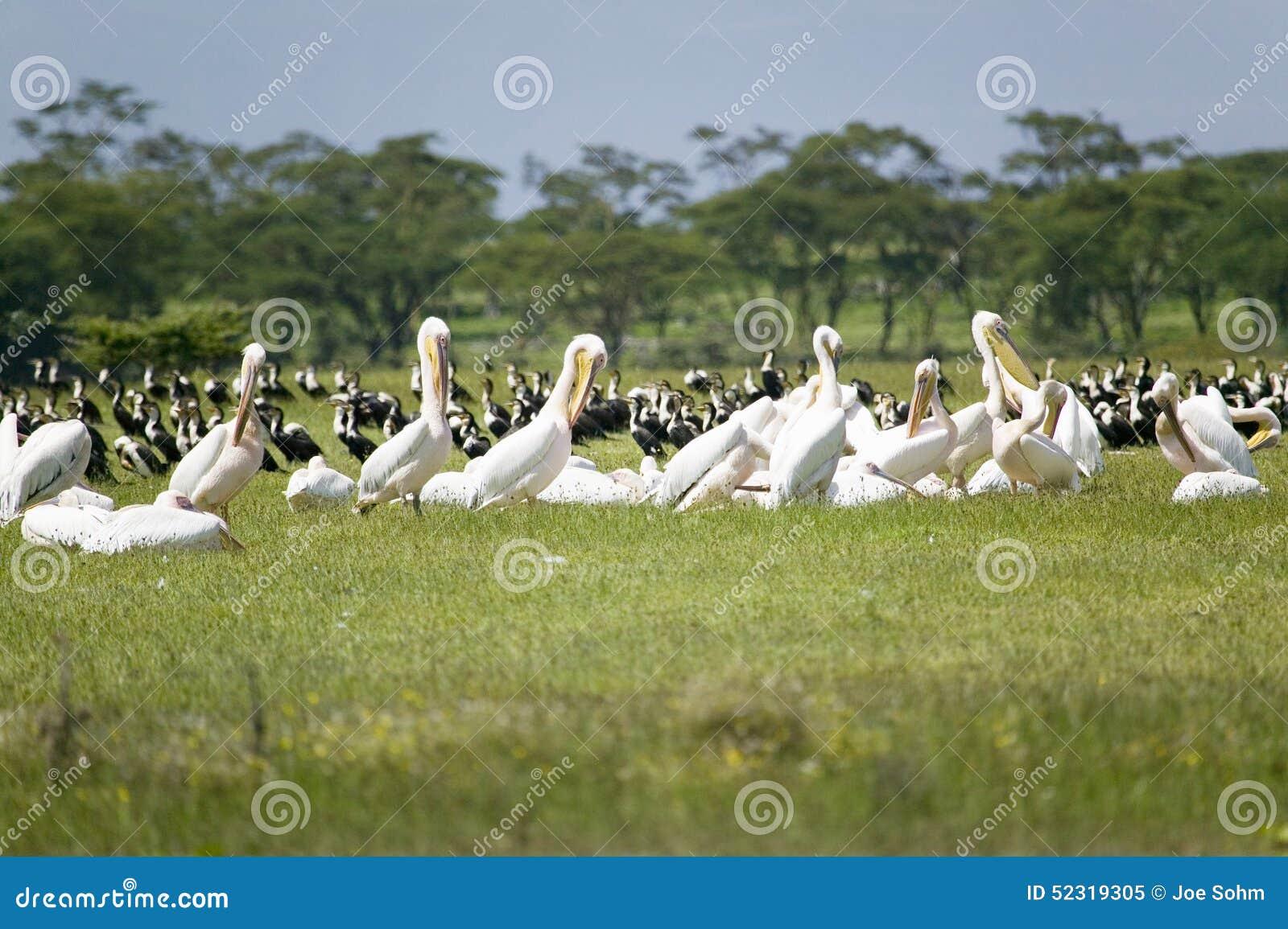 White Pelicans at Lake Naivasha, Great Rift Valley, Kenya, Africa