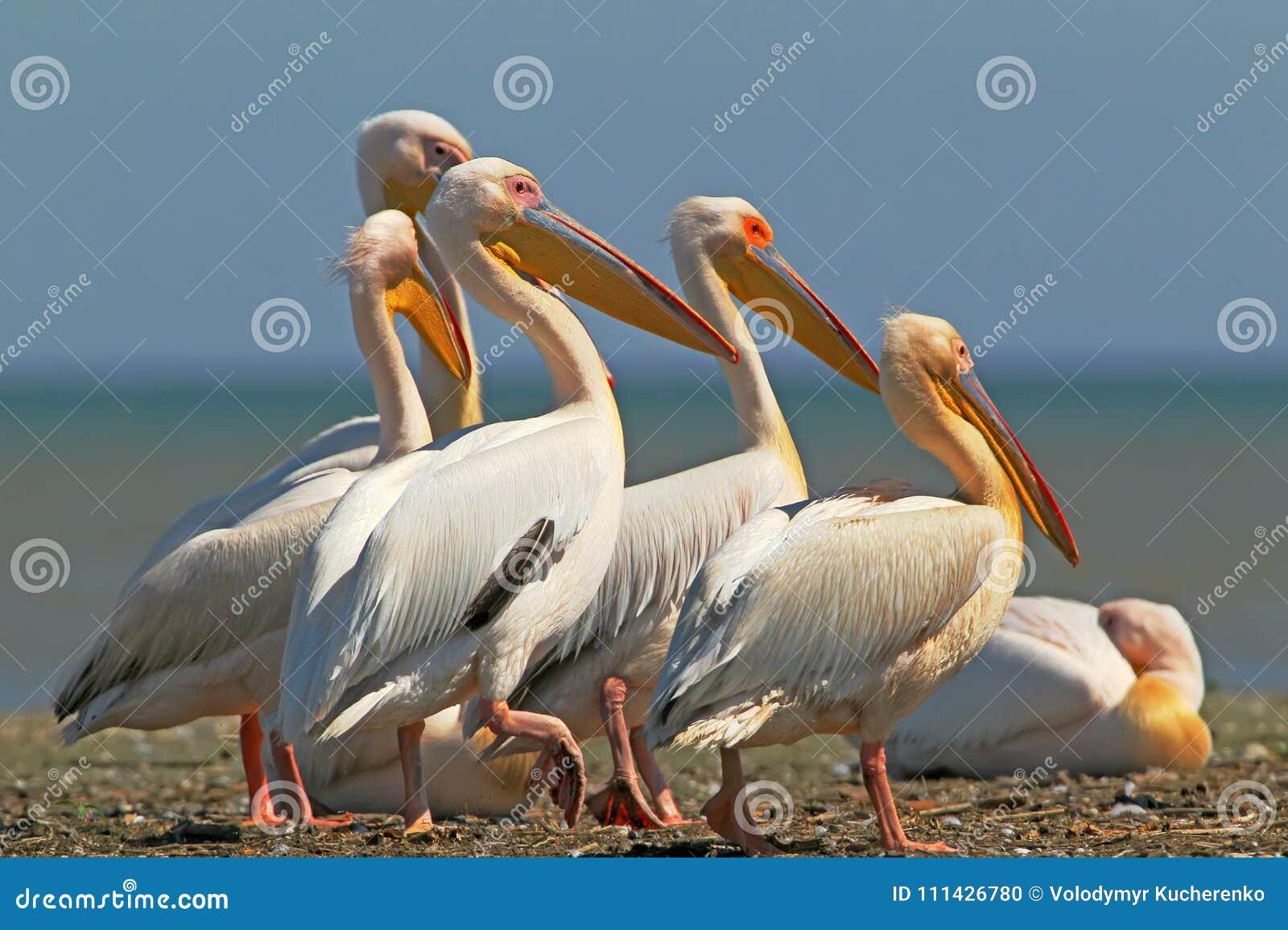 White pelicans rest on a sandbank