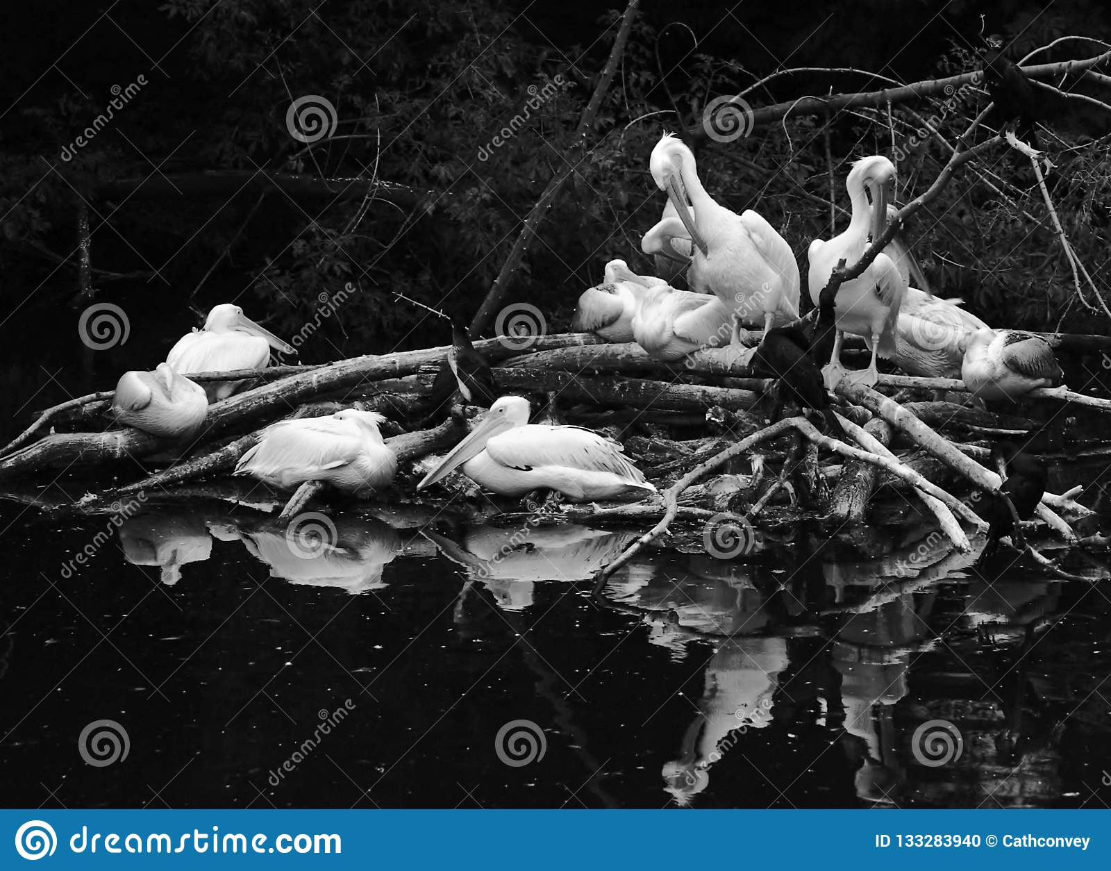 White pelicans by water. Black and white photo.