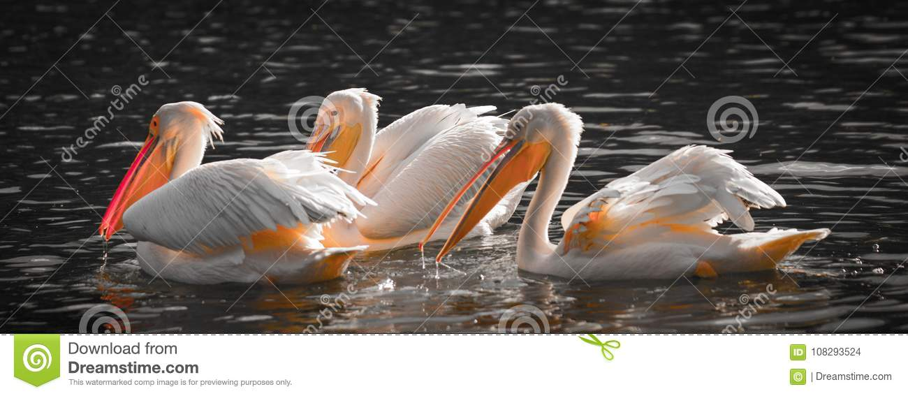 White pelicans in the water