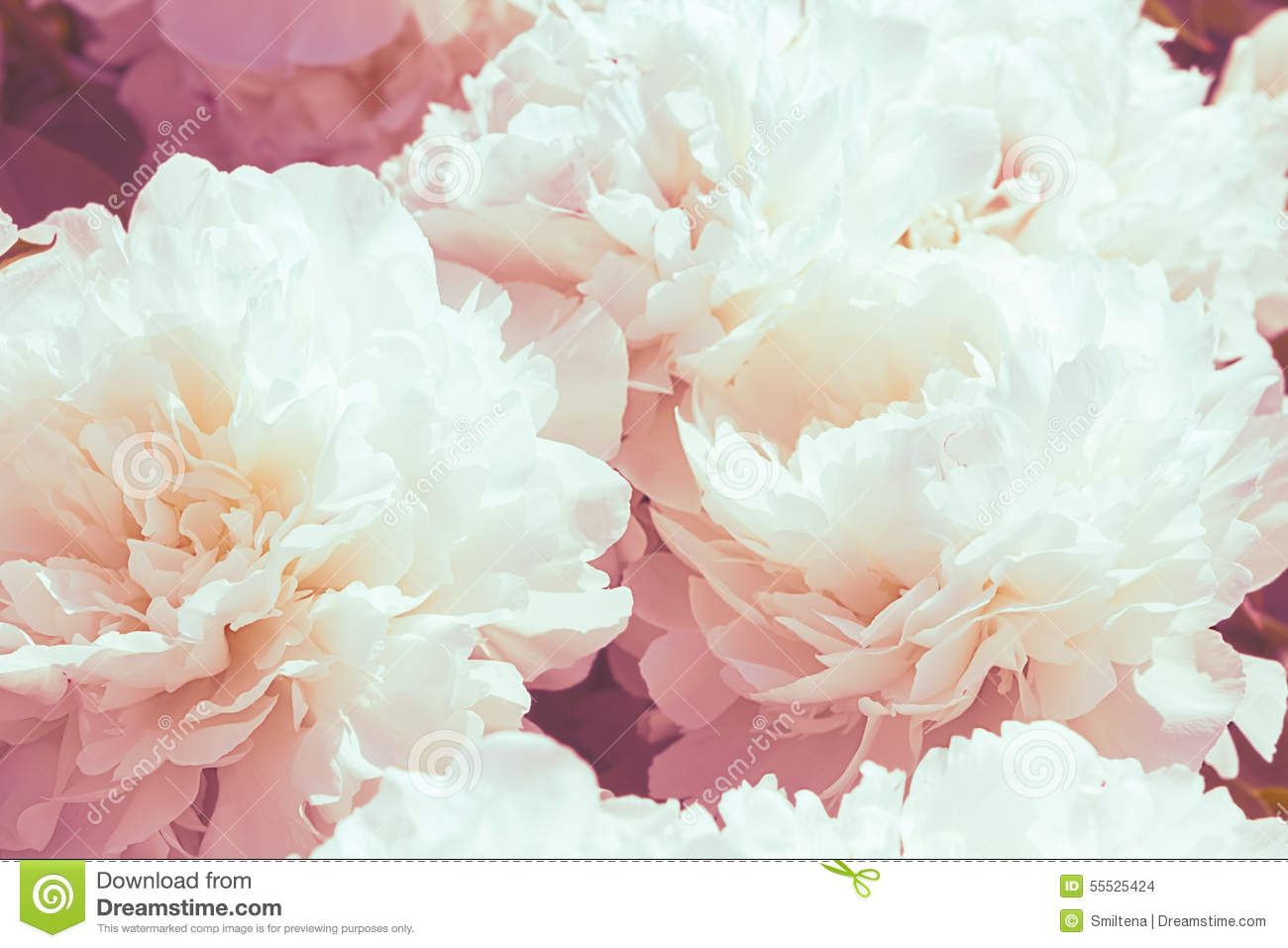 White Peony Flower Background Stock Photo 55525424 Megapixl