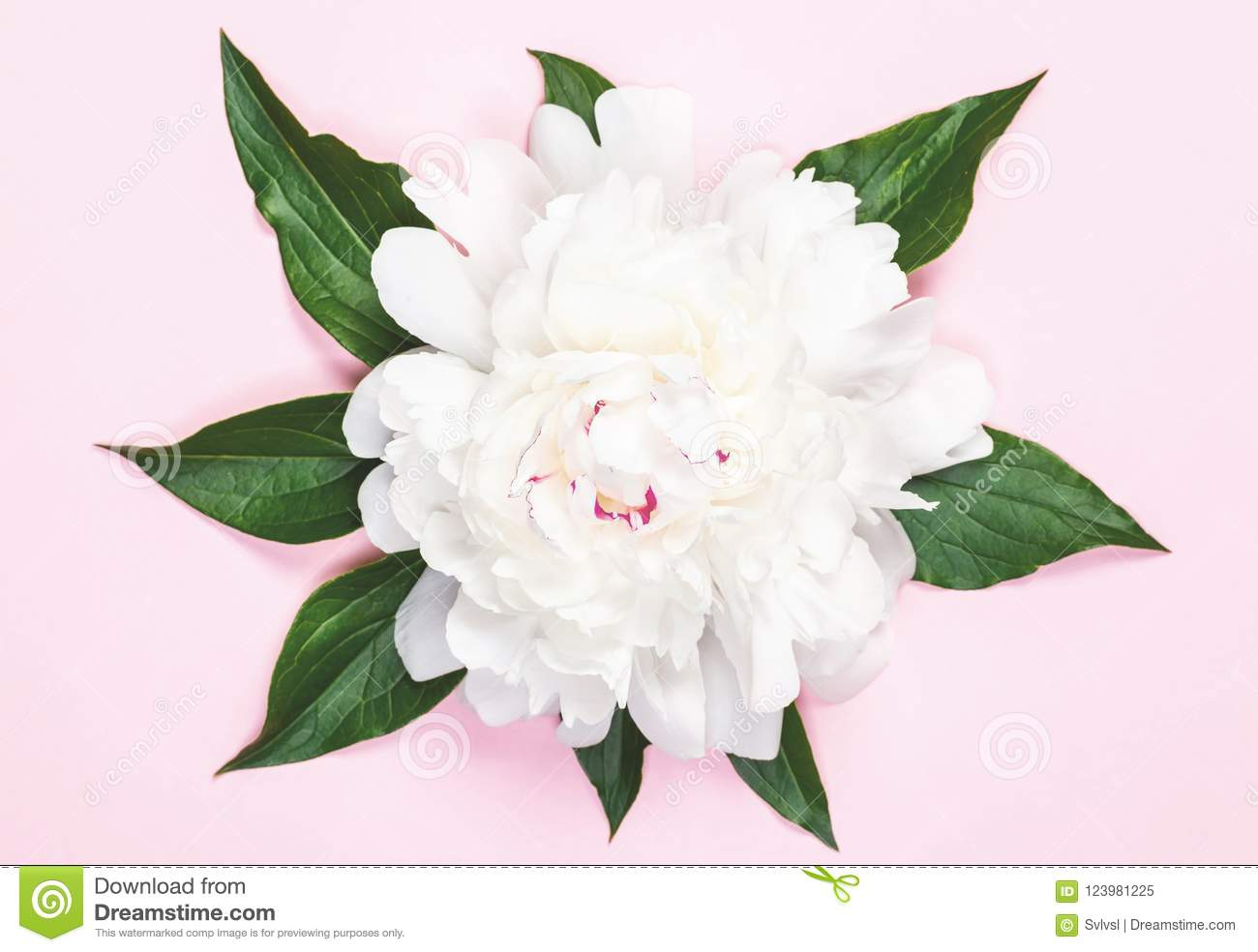 White Peony Flower And Leaves On Pastel Pink Background Flat Lay