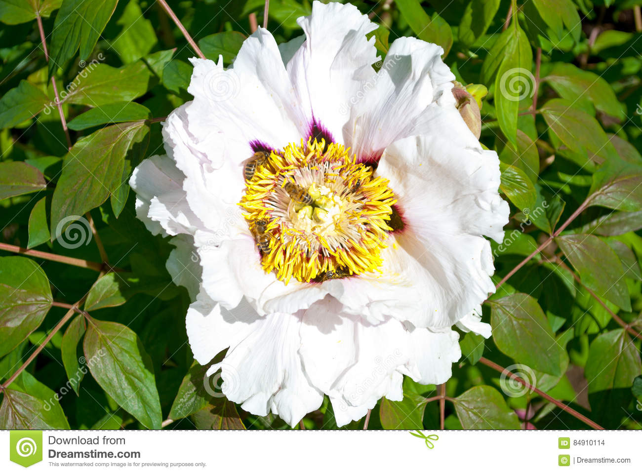 White Peony Flower Tree Stock Photo Image Of Blooming 84910114